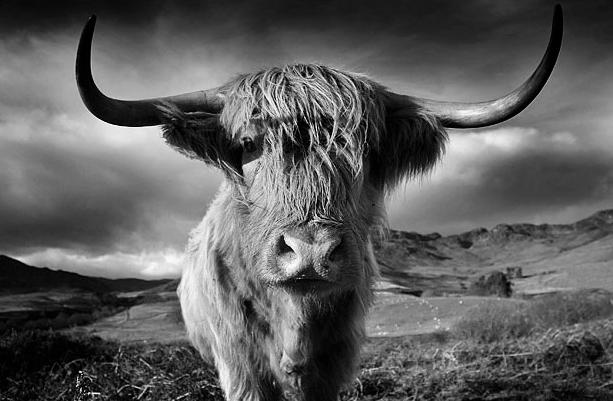 Highland Cow05.jpg
