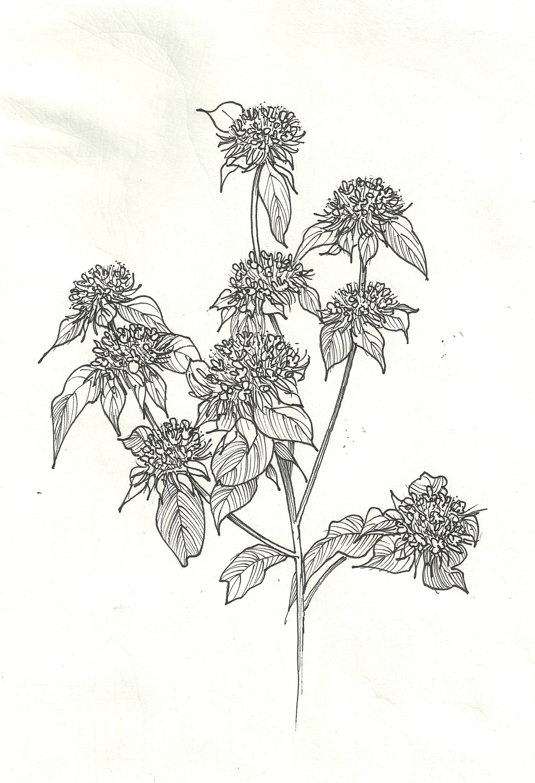 Bee Balm Illustration.jpg