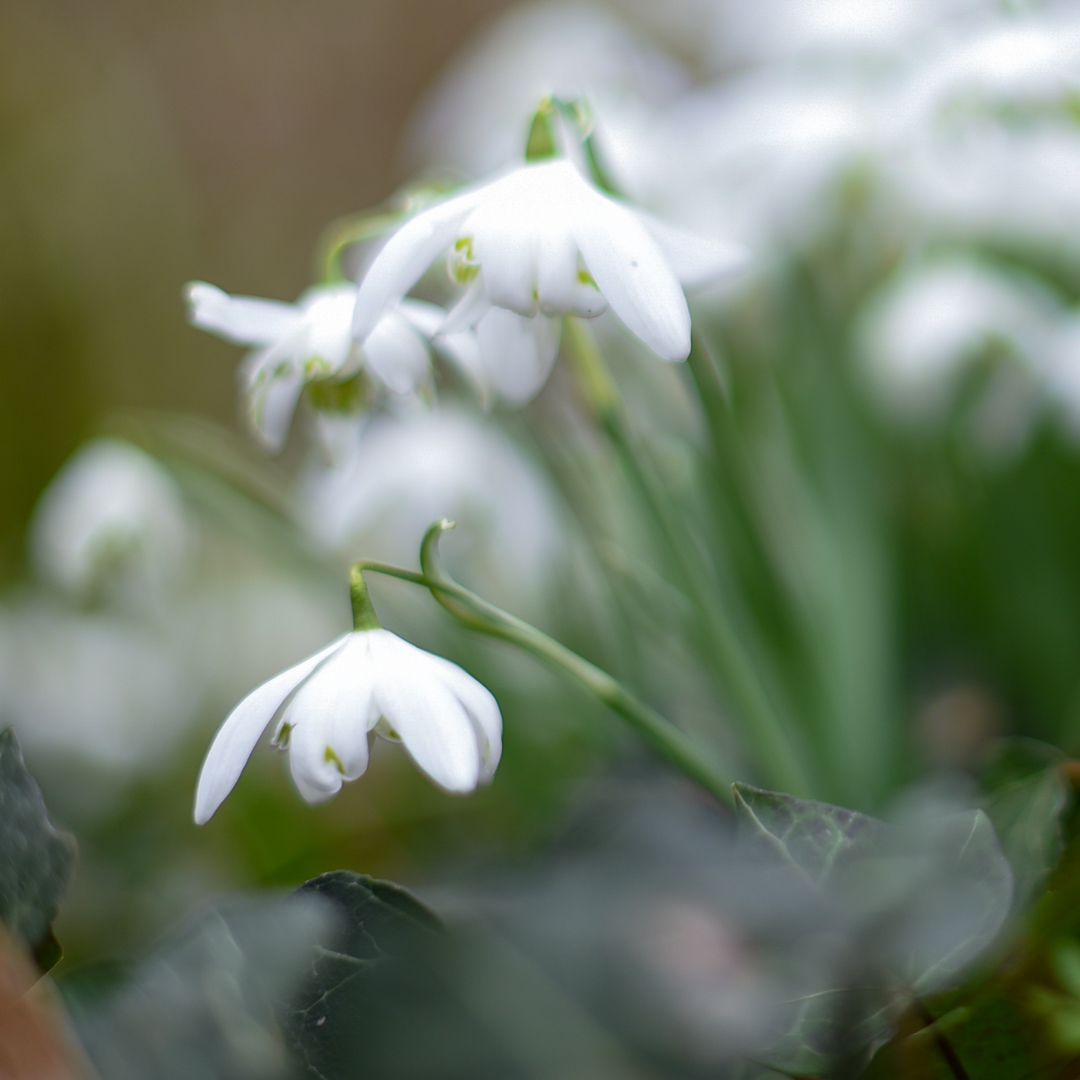 Snowdrops-at-ness-gardens-Day-1-of-365
