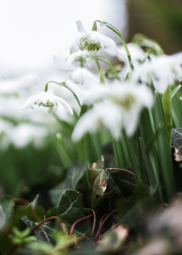Day-1-of-365-Ness-Ivy-and-Snowdrops