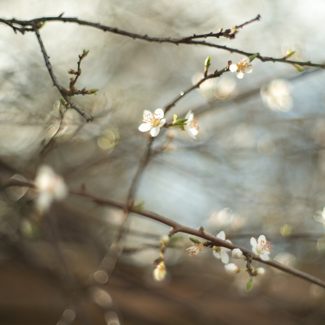 Day-3-of-lizzybs365-blossom-on-wild-plum-tree.jpg