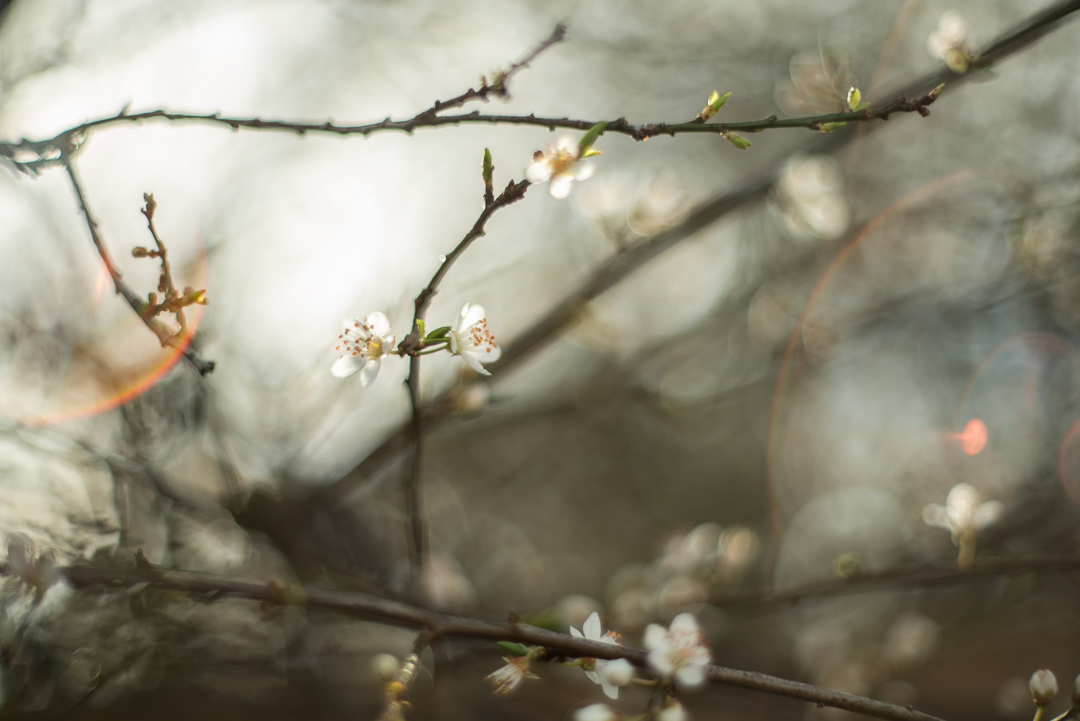 Fine-art-blossom-and-lens-flare