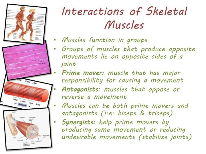 interactions-of-skeletal-muscles-n.jpg