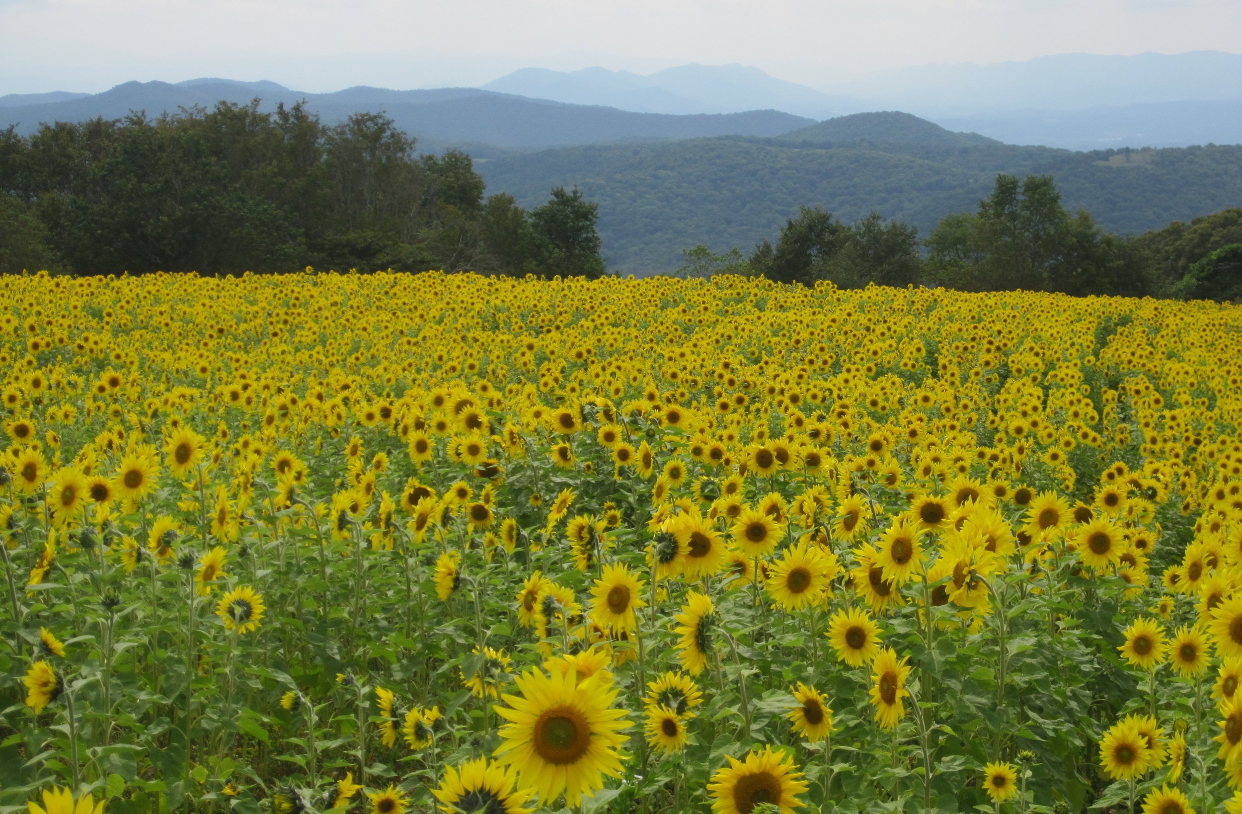 sunflowers+on+pond+mtn.jpg