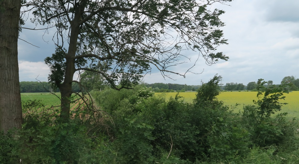 The field of rapeseed, from which they make canola oil.