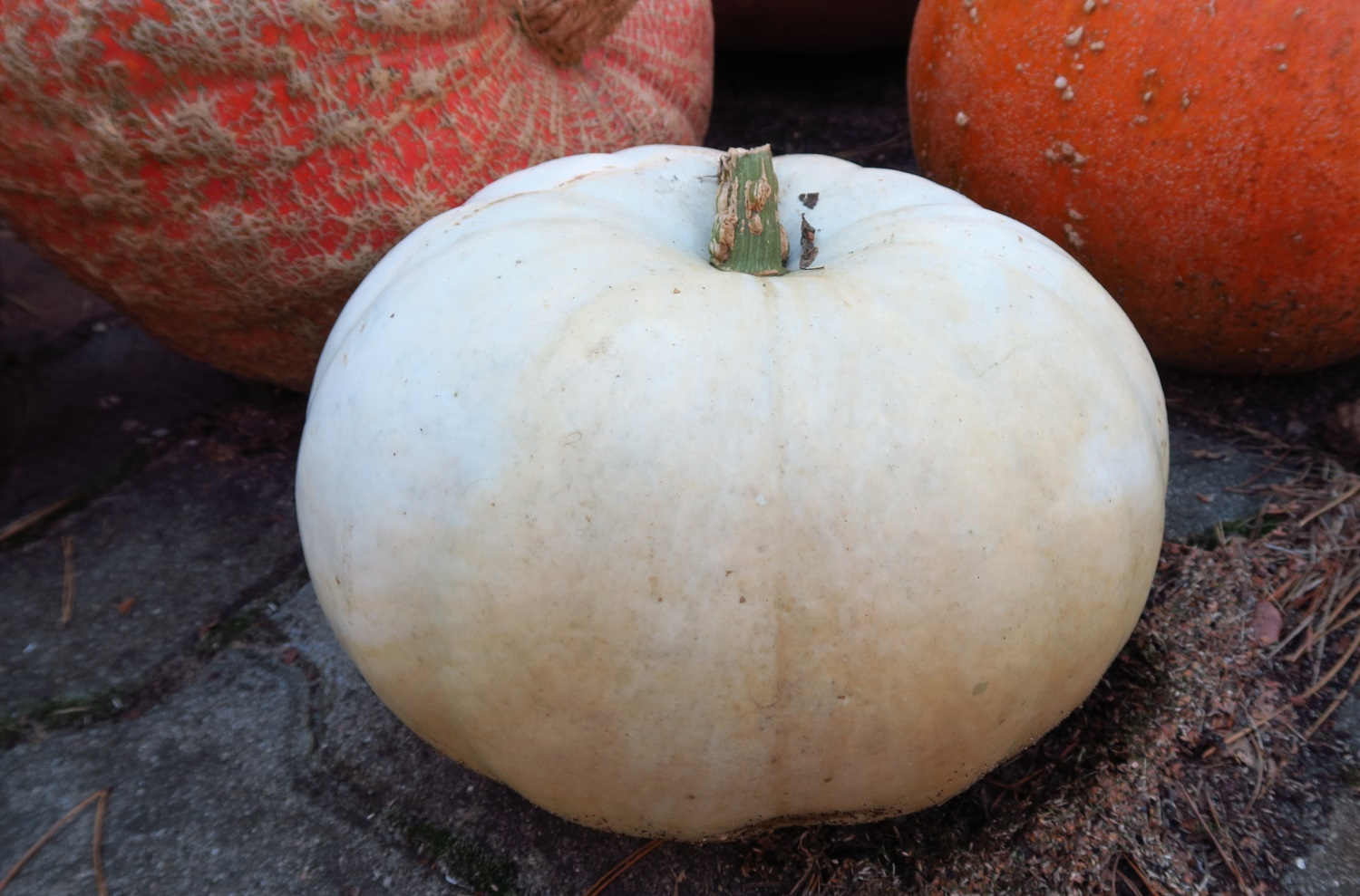 I planted several white pumpkin plants. I was disappointed to see only two white pumpkins.