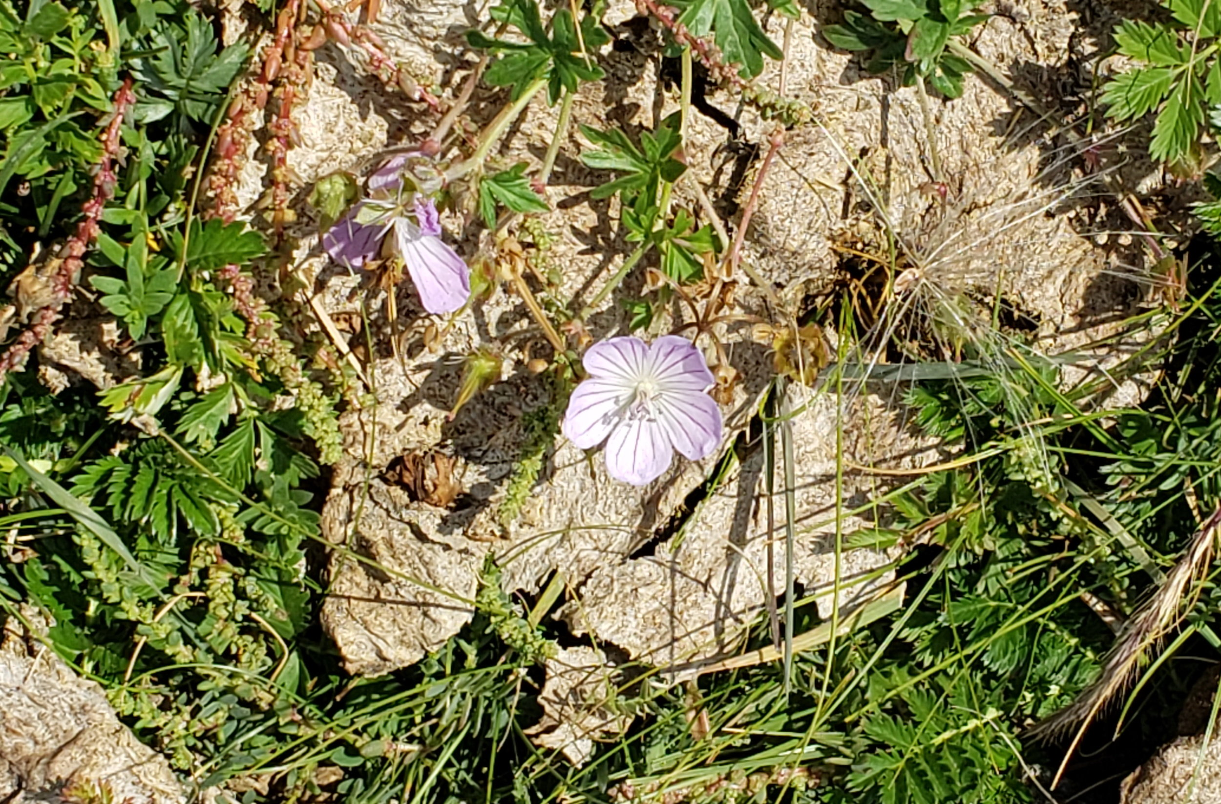 """Out of the dung pile…in the pasture these flowers decided to """"bloom"""" where they were!"""