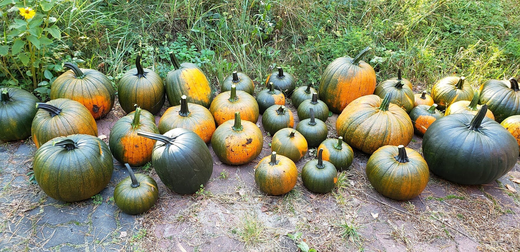 """There are two rather large 'squatty ones"""" - the big green one on the right and then to the left and back of it - one is turning orangish - also very squatty and big. There is a nice variation of sizes and shapes."""