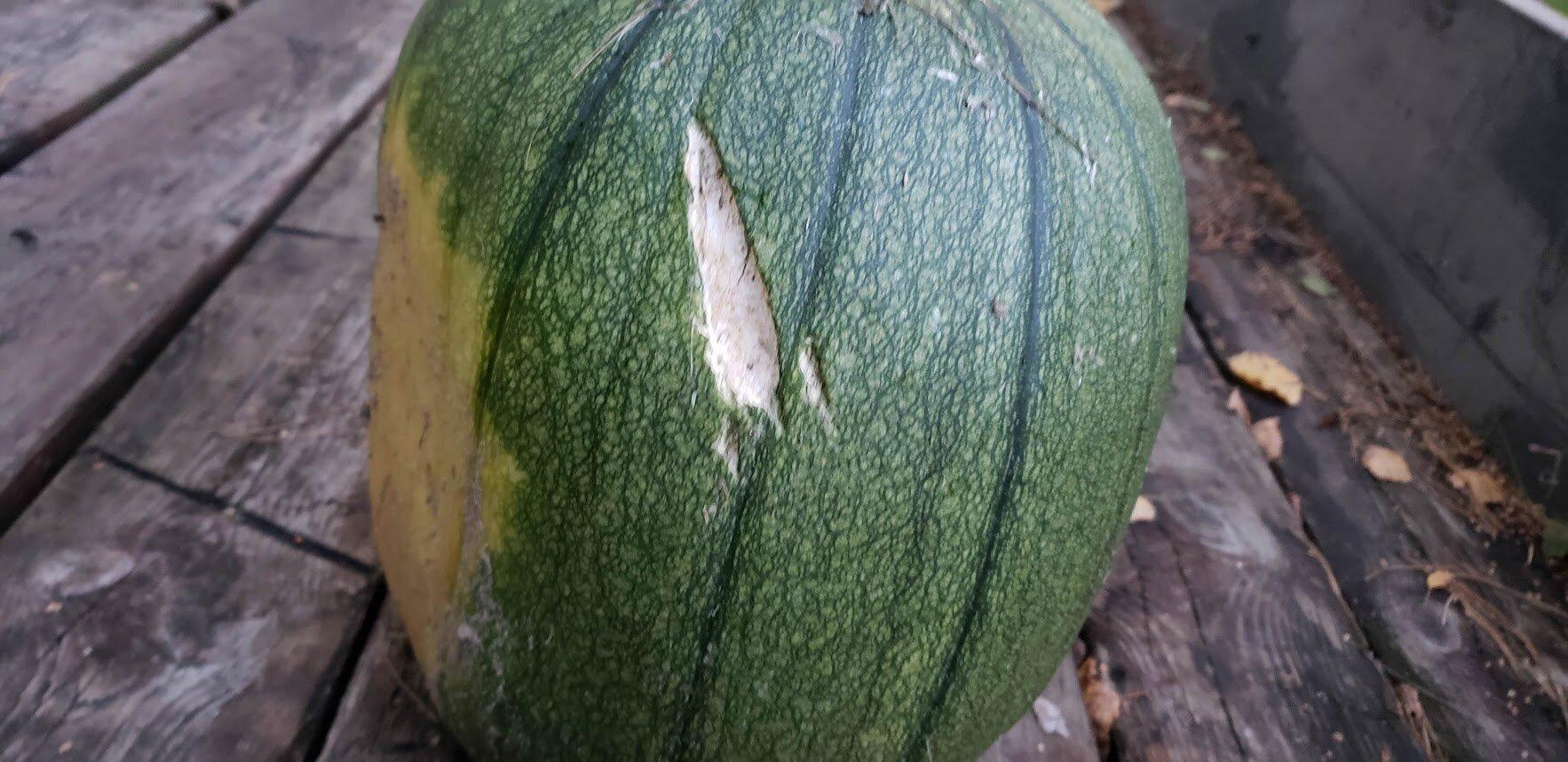 pumpkin damaged by road workers.jpg