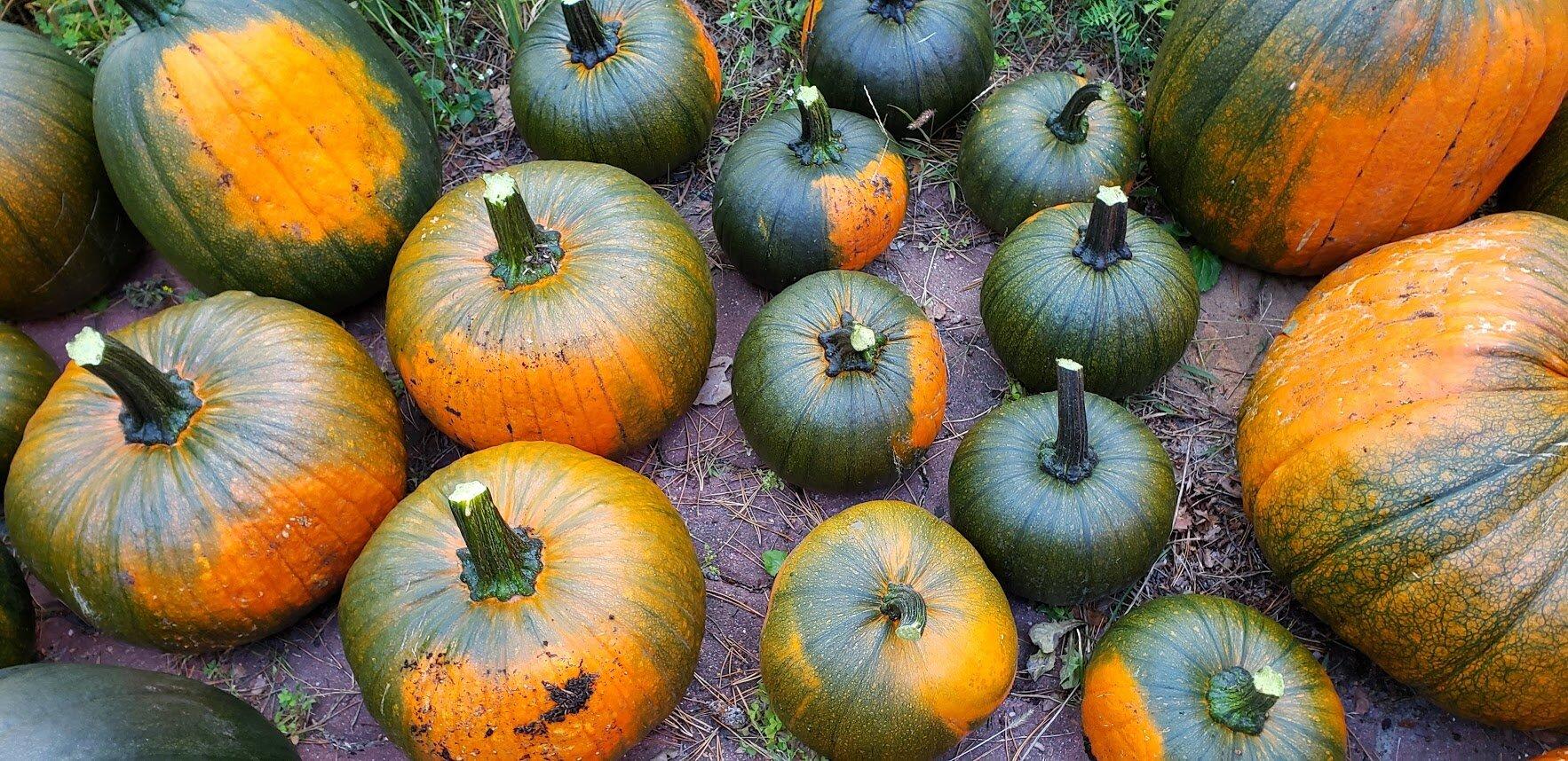 pumpkins 2019 12.jpg