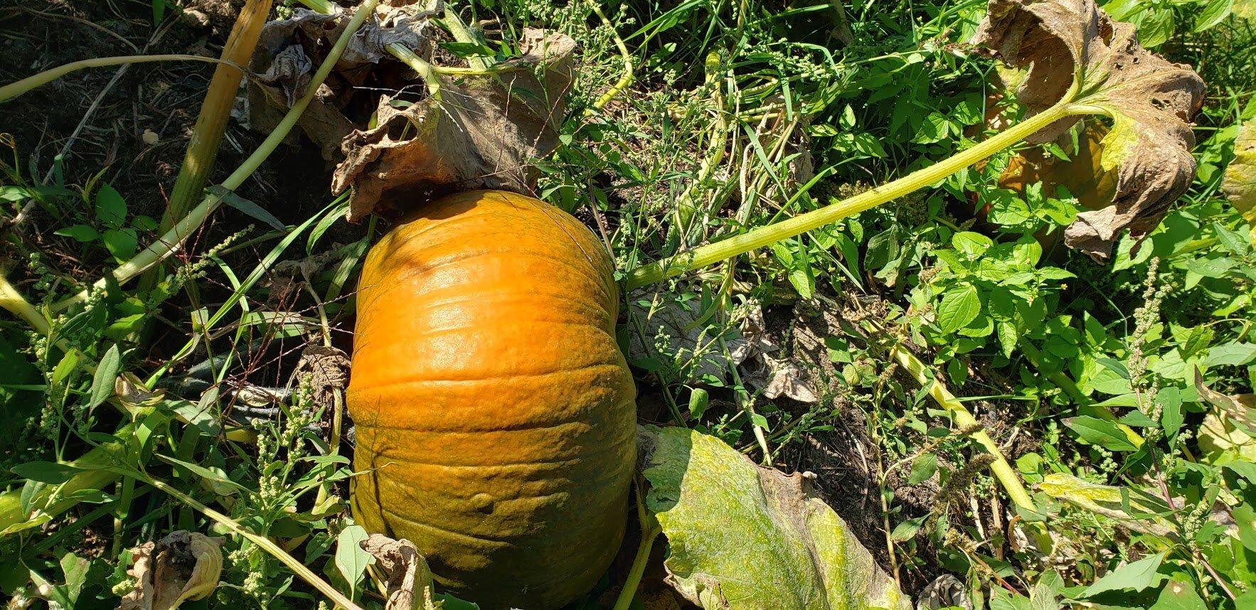 pumpkins 2019 3.jpg