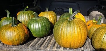 We took the truck over to load the pumpkins in. It was too many to try to bring over in a wheelbarrow.