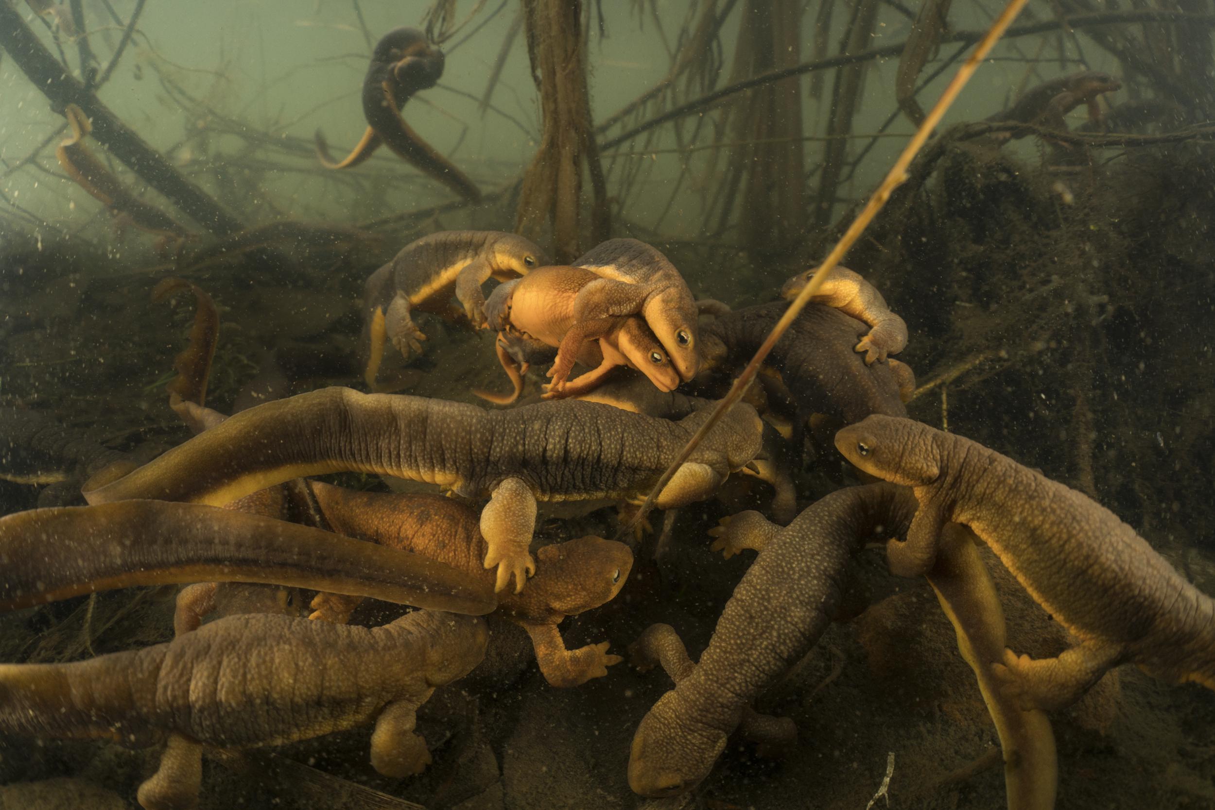 47. Rough Skinned Newts_Willamette River, Oregon.jpg