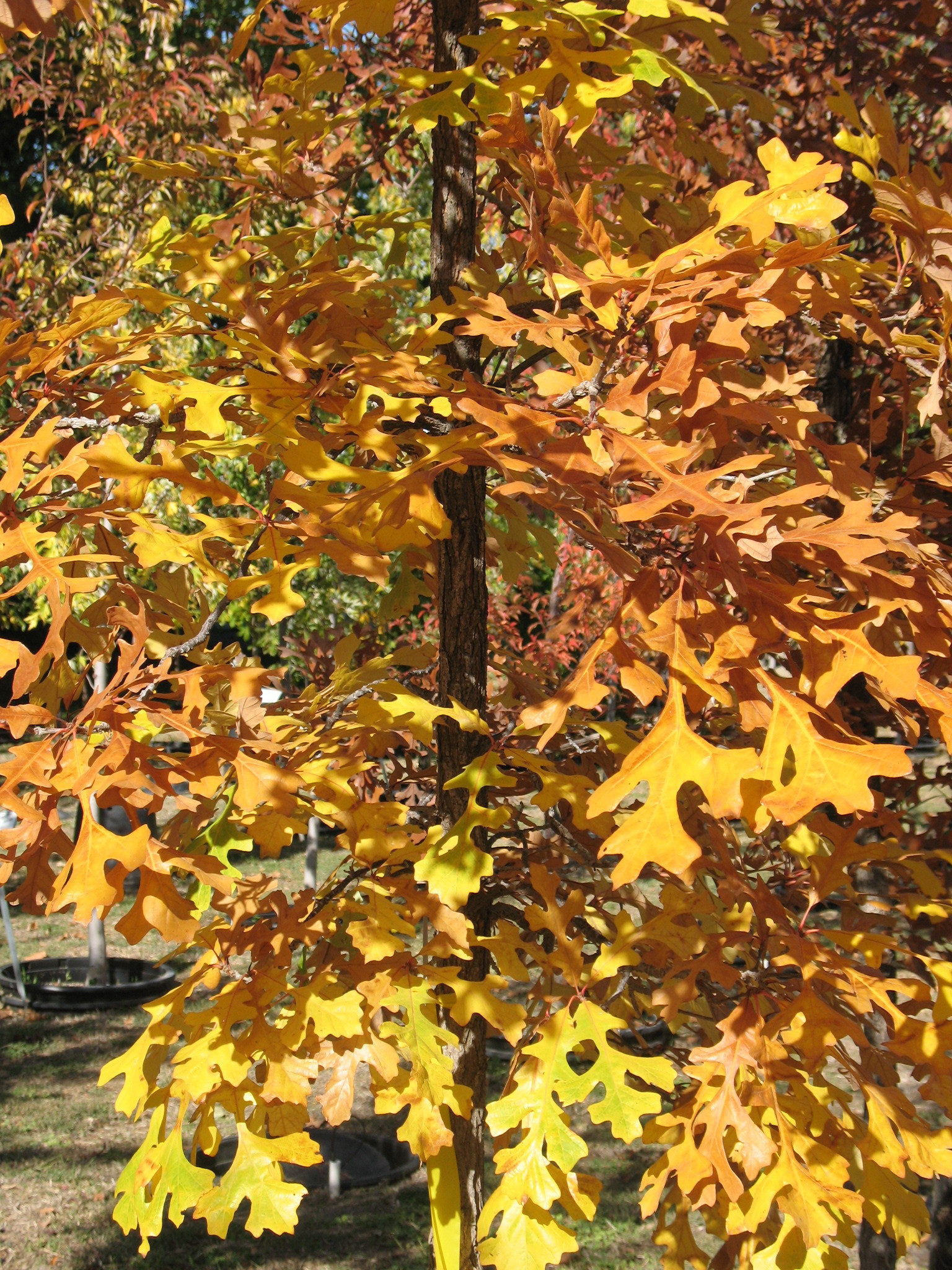 Leaves of a Bur Oak