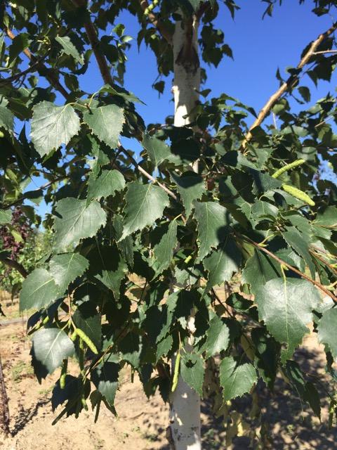 Birch, Dakota Pinnacle Leaves.jpg