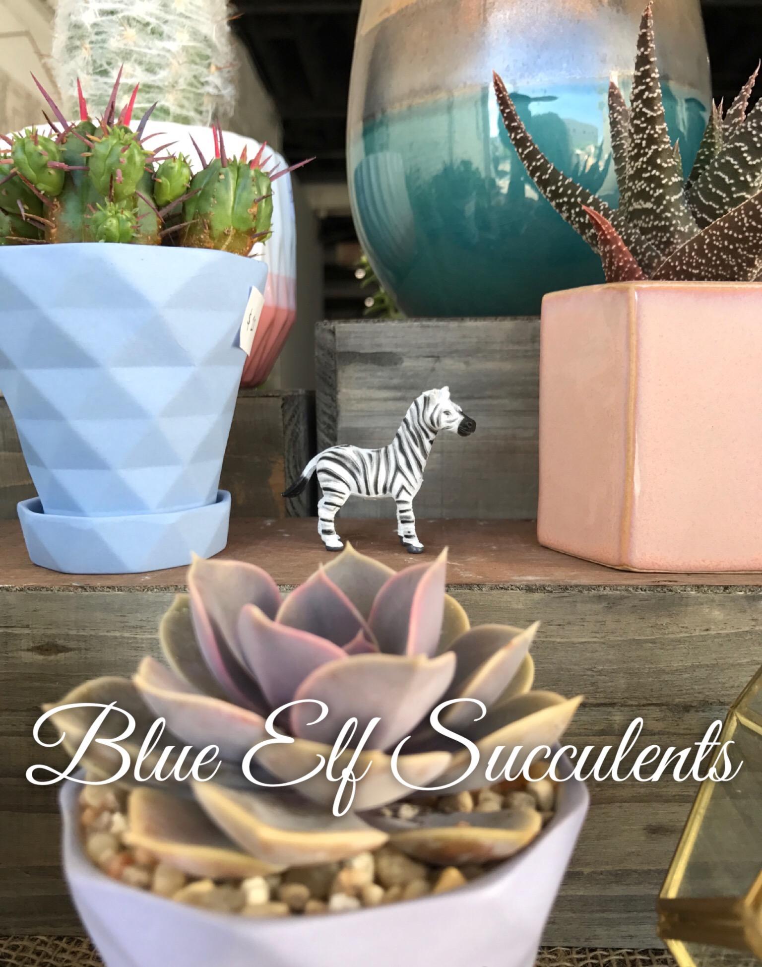AWD_bluelfsucculents.jpeg