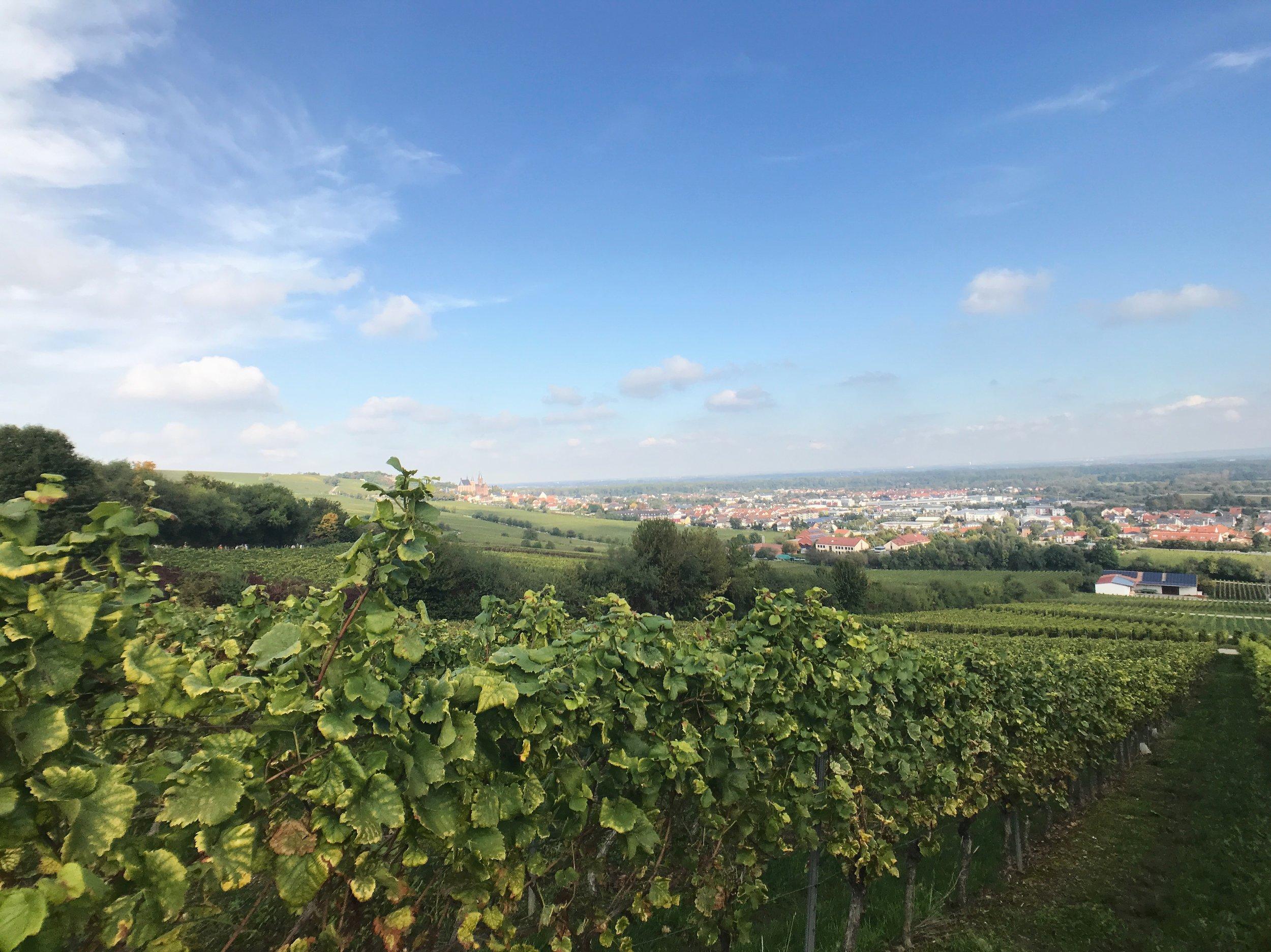 Auf dem Weinberg. Im Hintergrund Stadt Oppenheim mit Burgruine Landskron