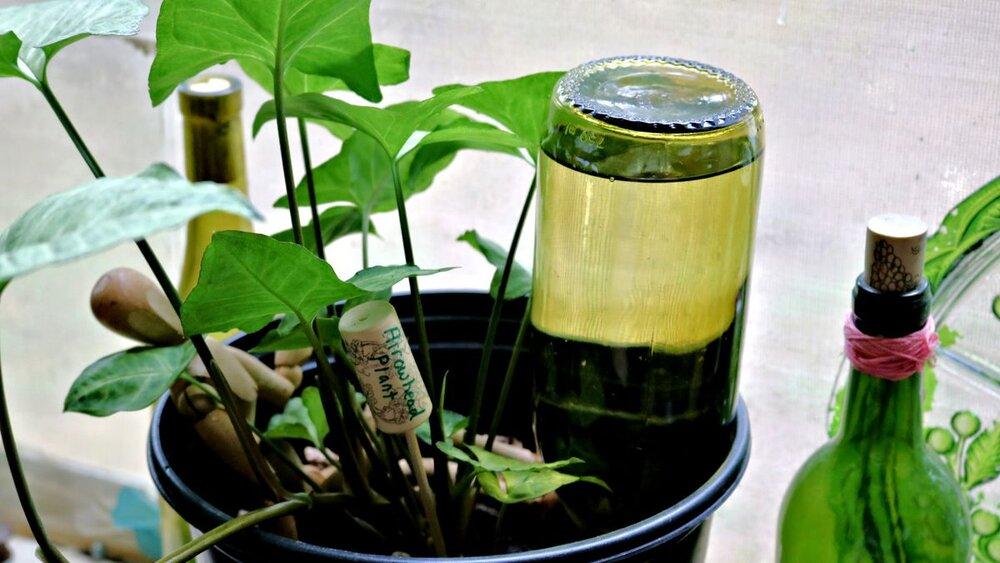 bottle-method-watering-plants-watering-plants