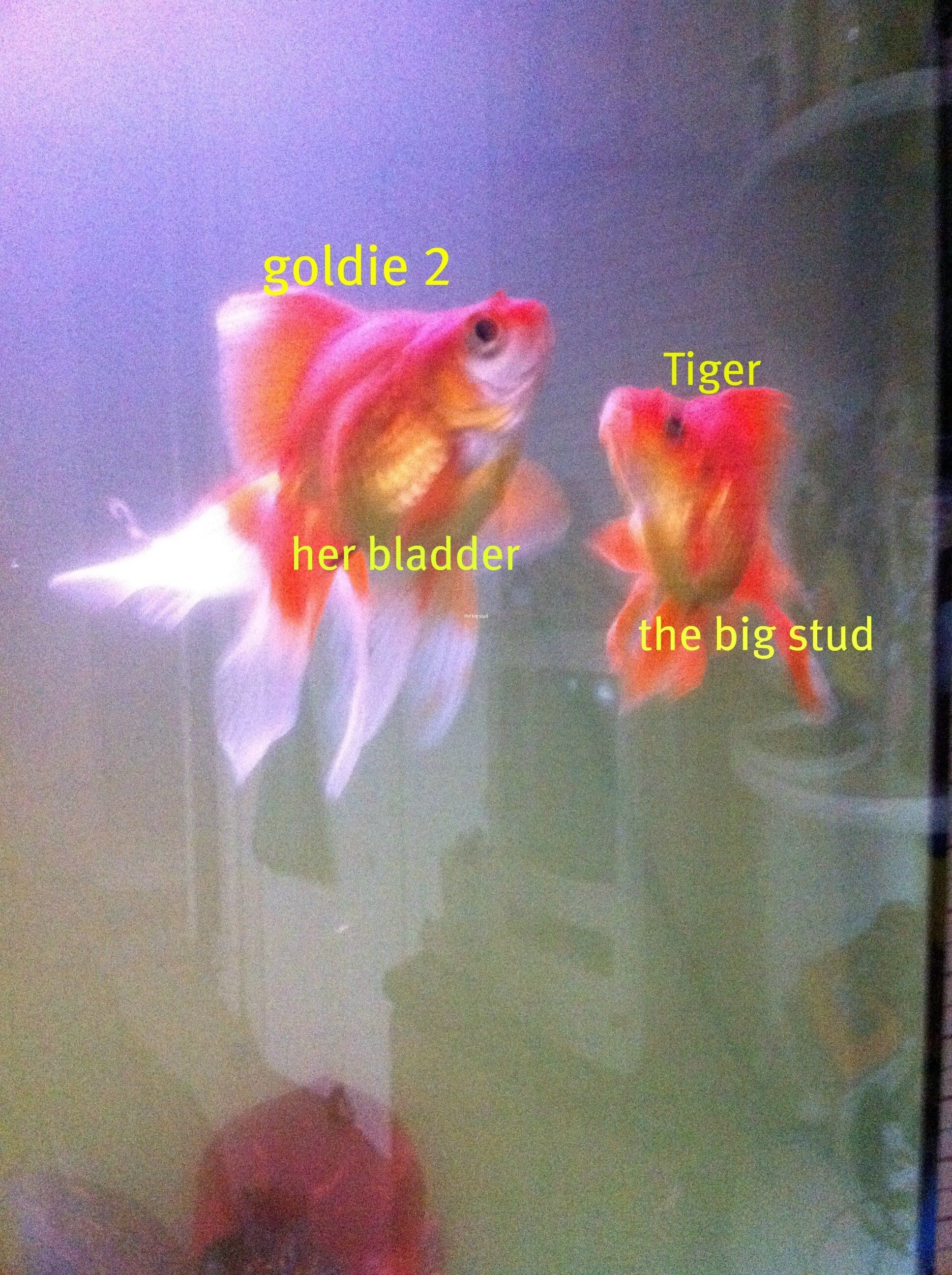 Do Goldfish Poop And Pee Lets Find Out Tastemaker Collective Media