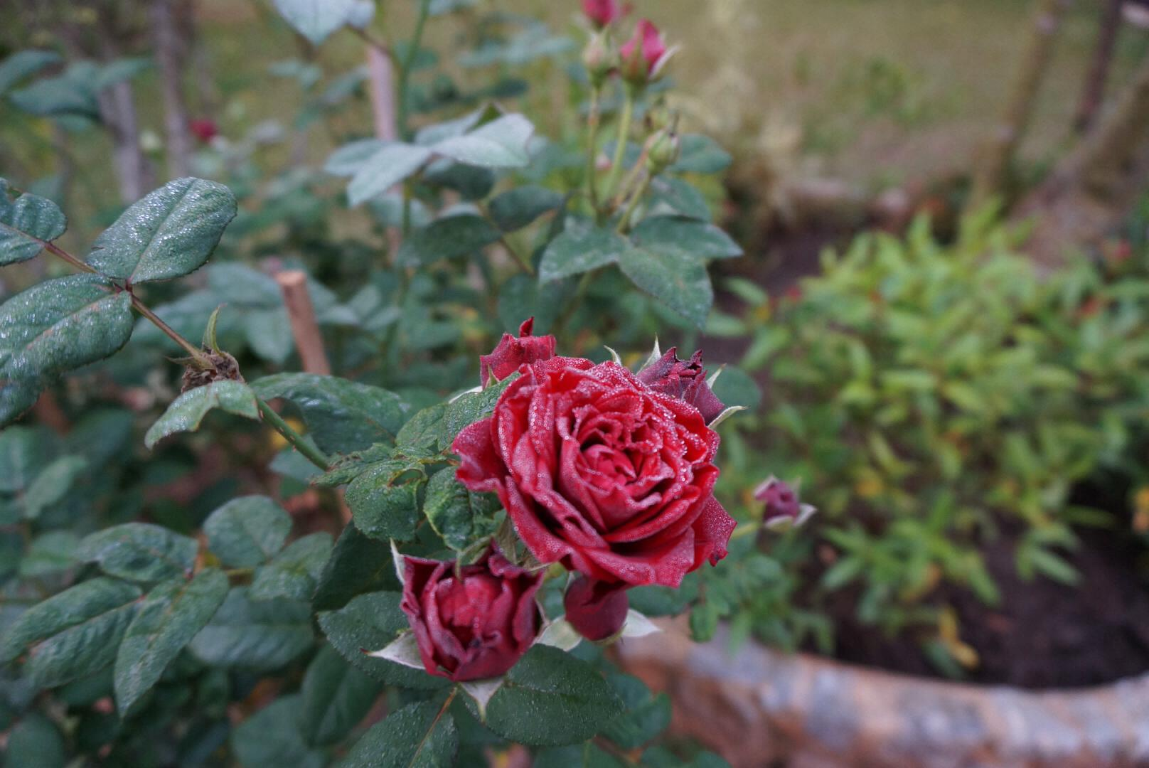 Kunkoi Waspak Rose Feb 2015.jpg
