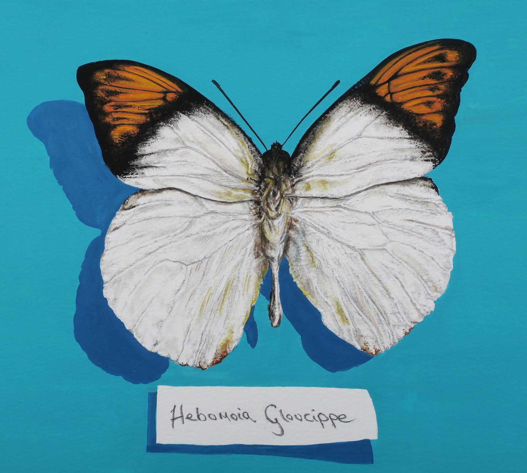 Hebomoia Gloucippe by Jill Iliffe