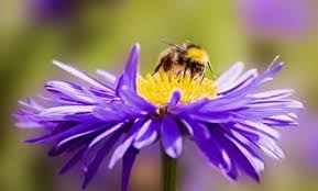 why-bees-are-important-to-our-Minnesota-gardens