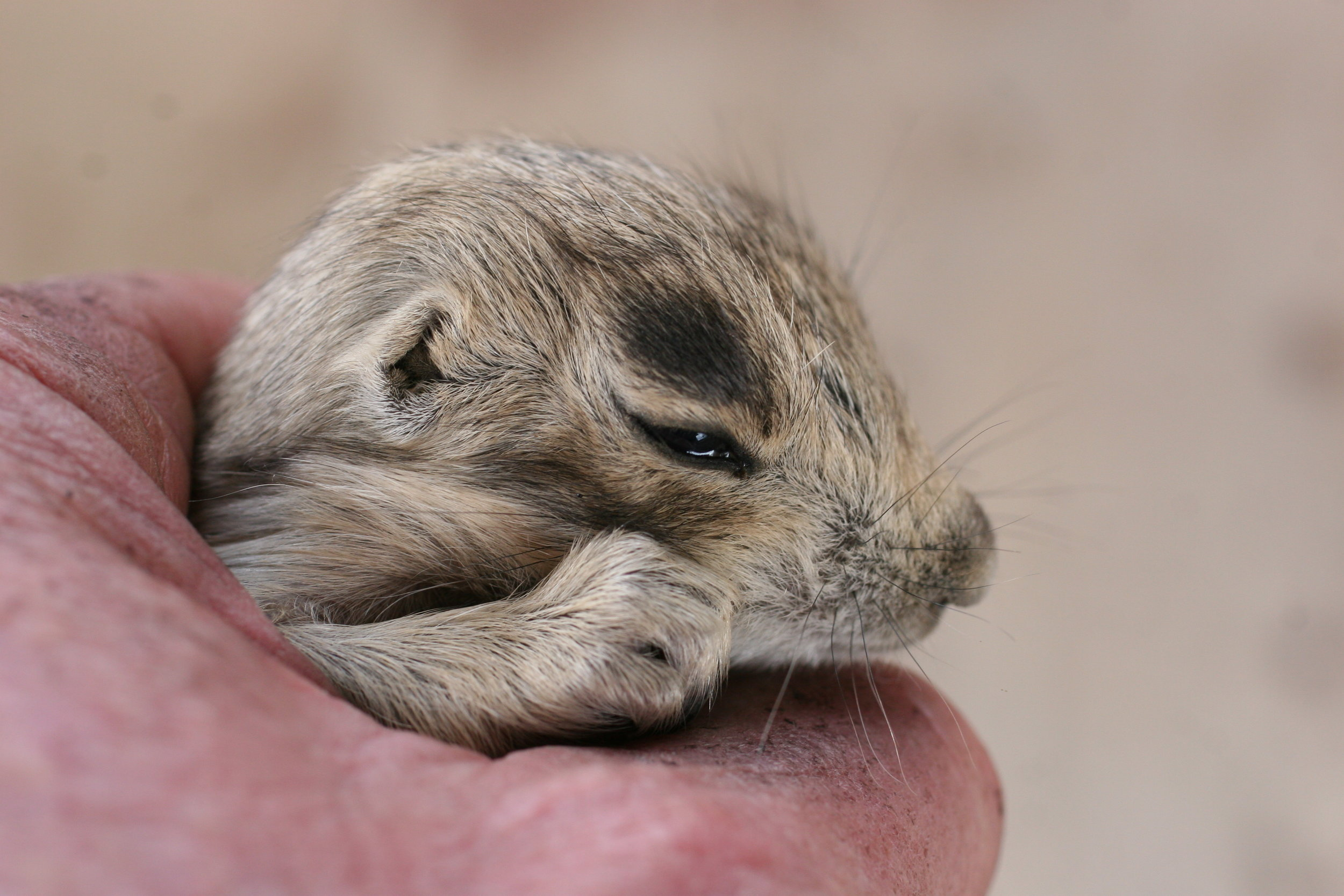 Juvenile prairie dogs are very small. ©John Hoogland 2007