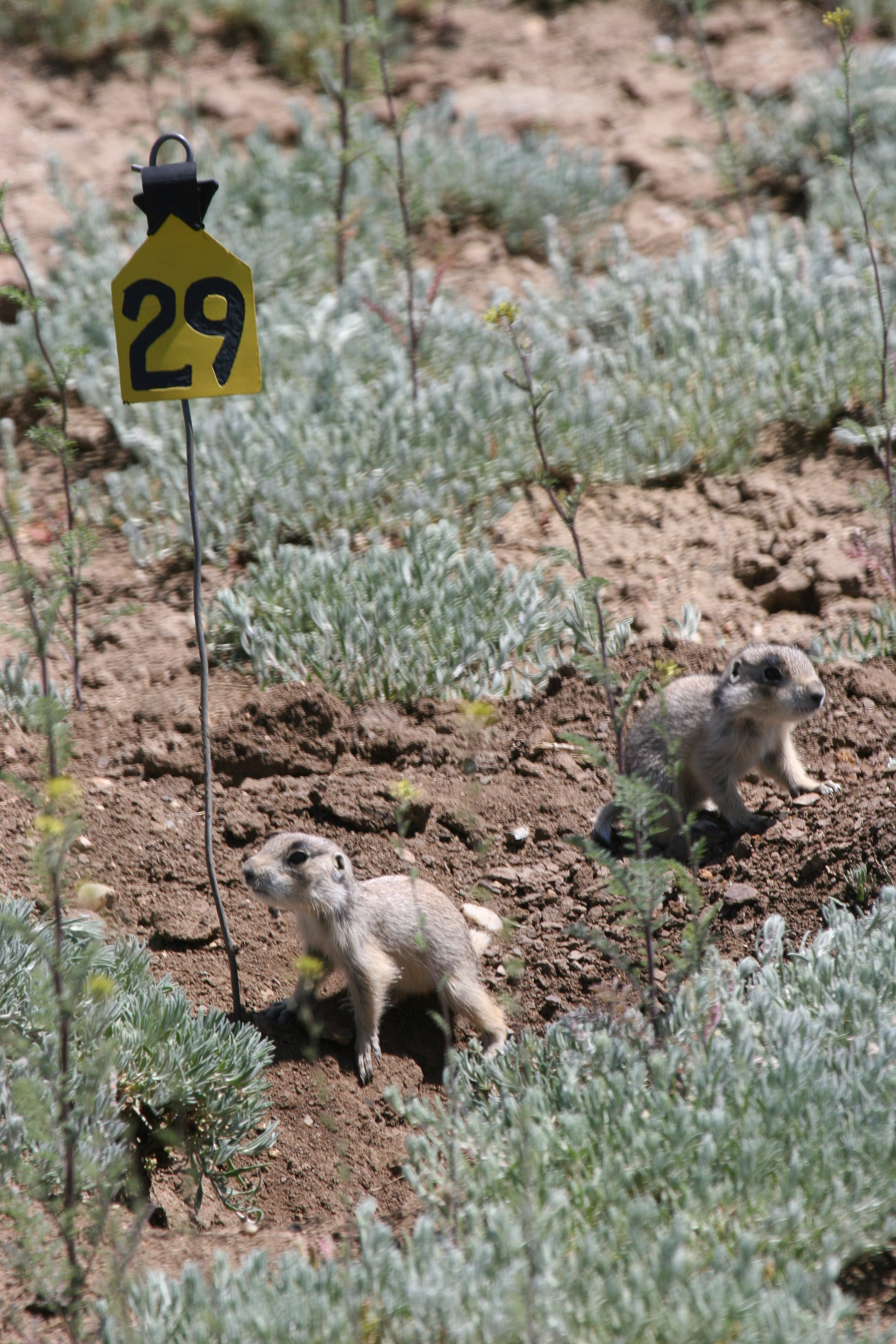 When they first emerge, baby prairie dogs will tentatively remain near their burrow. ©John Hoogland 2007