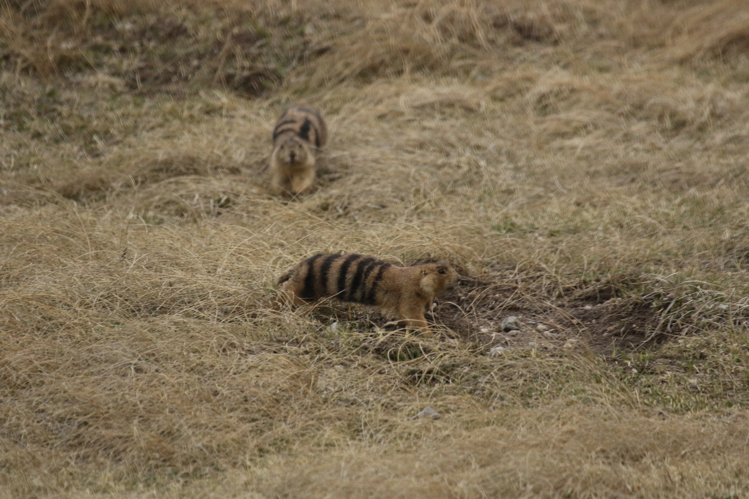 Having already mated with her, 24 tries to keep 6 Stripe underground, chasing and herding her into her burrow to keep her away from other males in the area.  ©MRR 2017