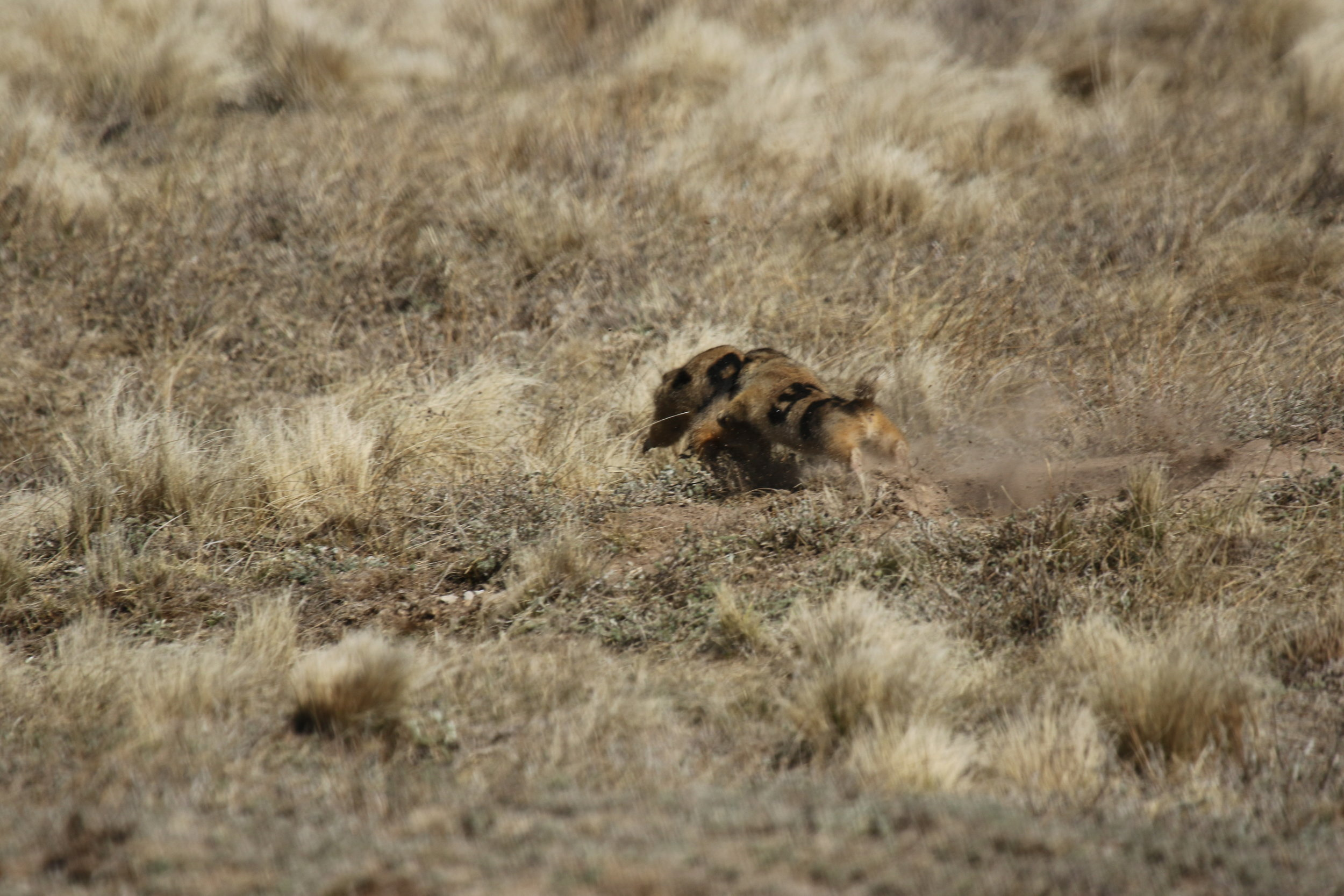 31 aims a bite at 29's flank as the other dog retreats. This would be scored as a territorial dispute and chase (TD, C) but with no fight (F), as the two prairie dogs did not roll into full-contact fighting.  ©MRR 2017