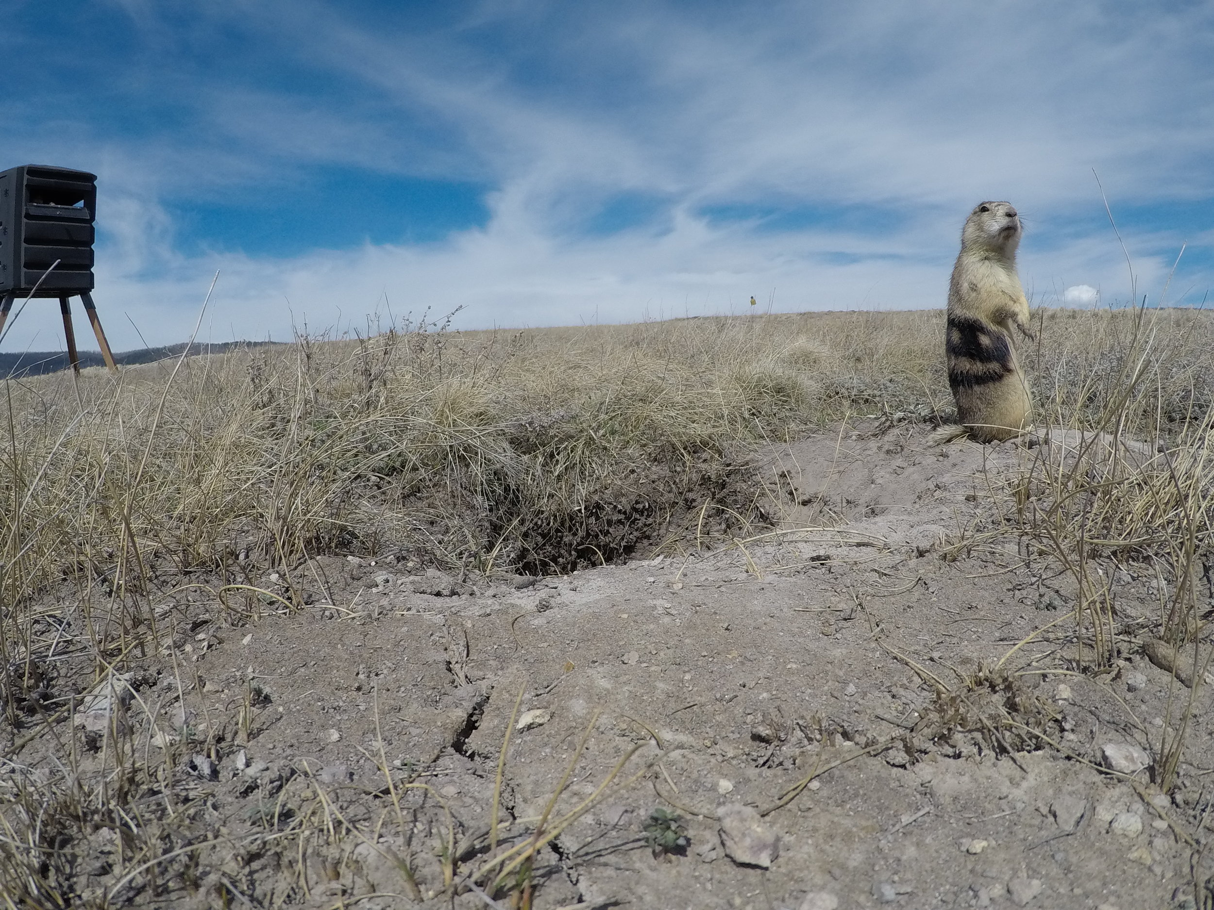 A closeup shot of a prairie dog at his burrow shows an observation blind in the near distance.  ©MRR 2017