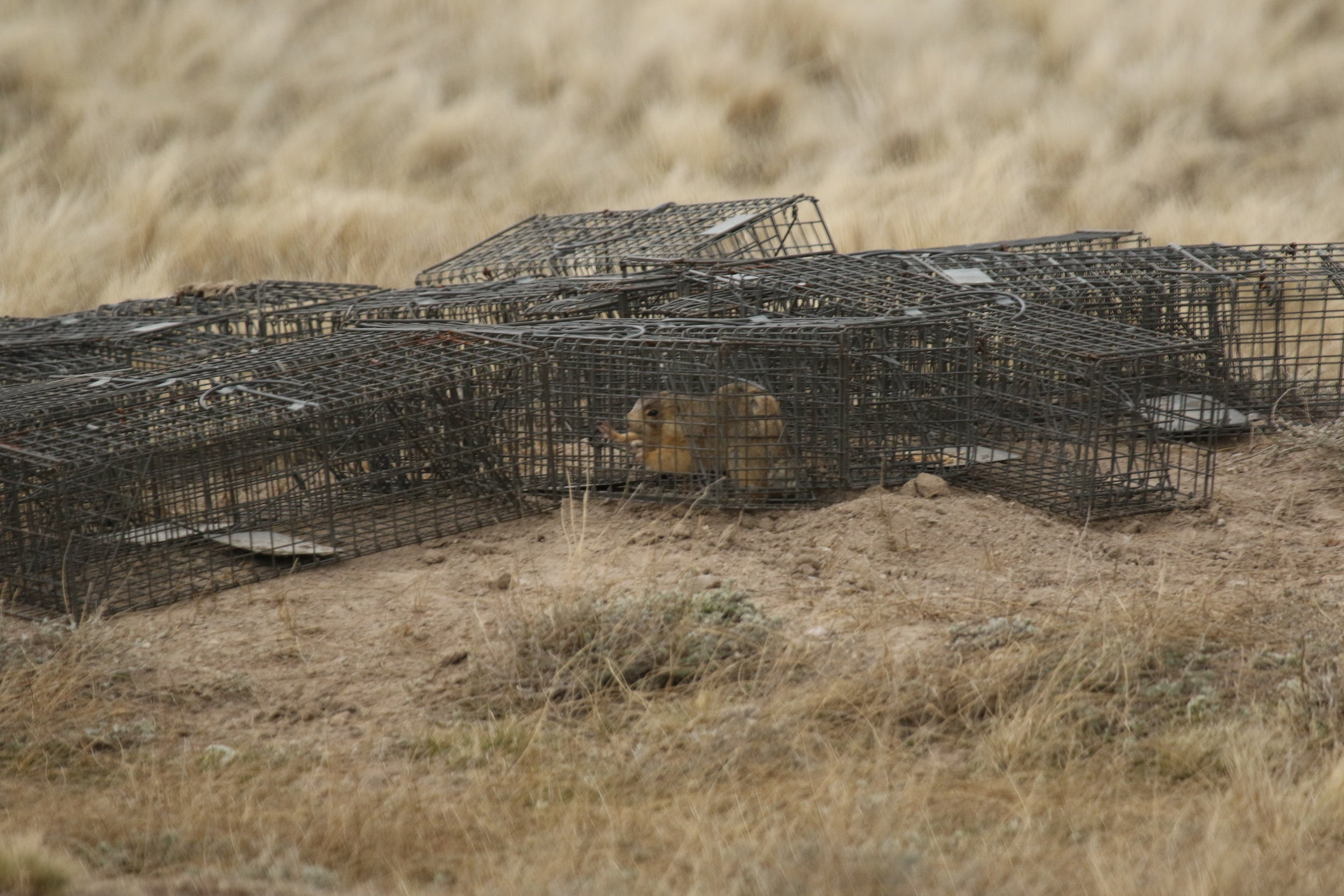 An unmarked prairie dog caught in a surrounding.  ©MRR 2017