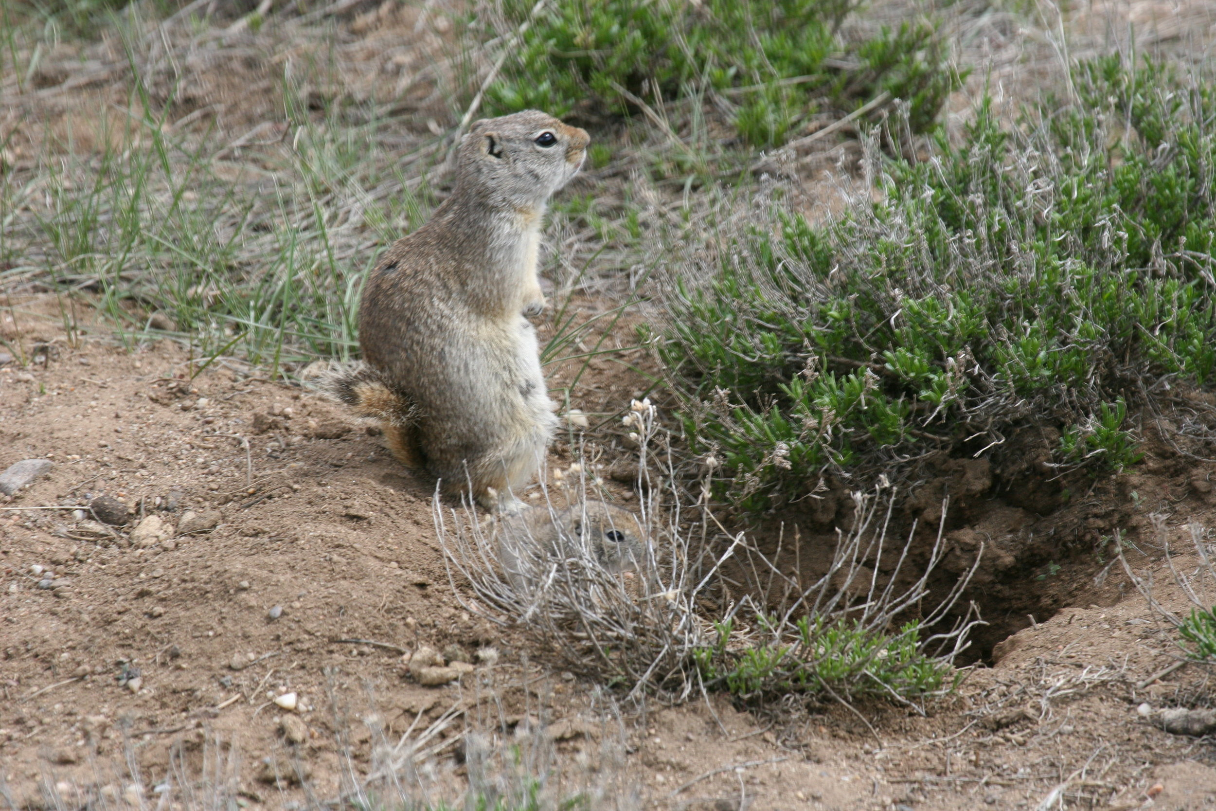 The relatively longer black-tipped tail of the Wyoming ground squirrel can be used to differentiate it from the white-tailed prairie dog.  ©John Hoogland 2011