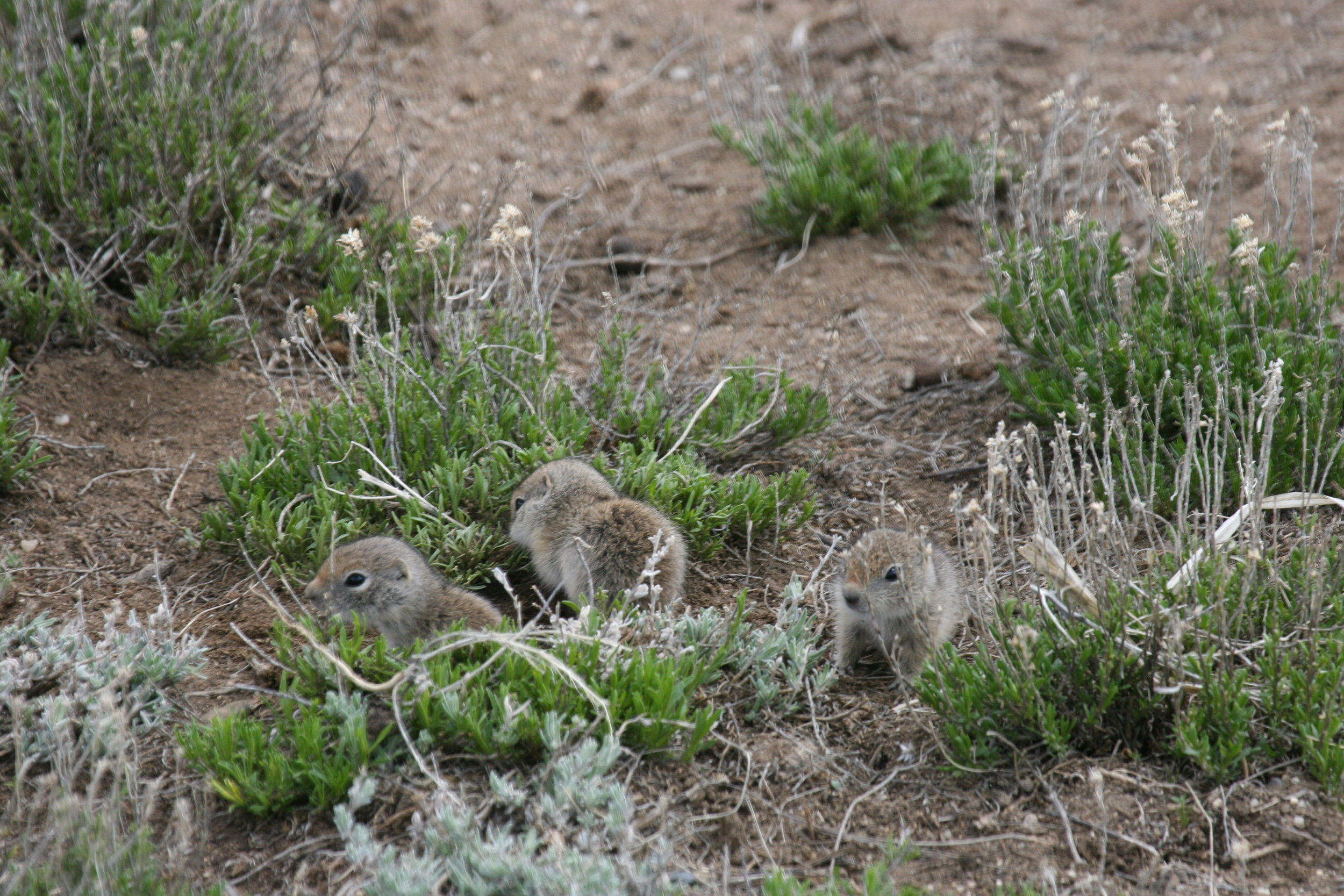 Wyoming ground squirrel juveniles look nearly identical to white-tailed prairie dog juveniles.  ©John Hoogland 2011
