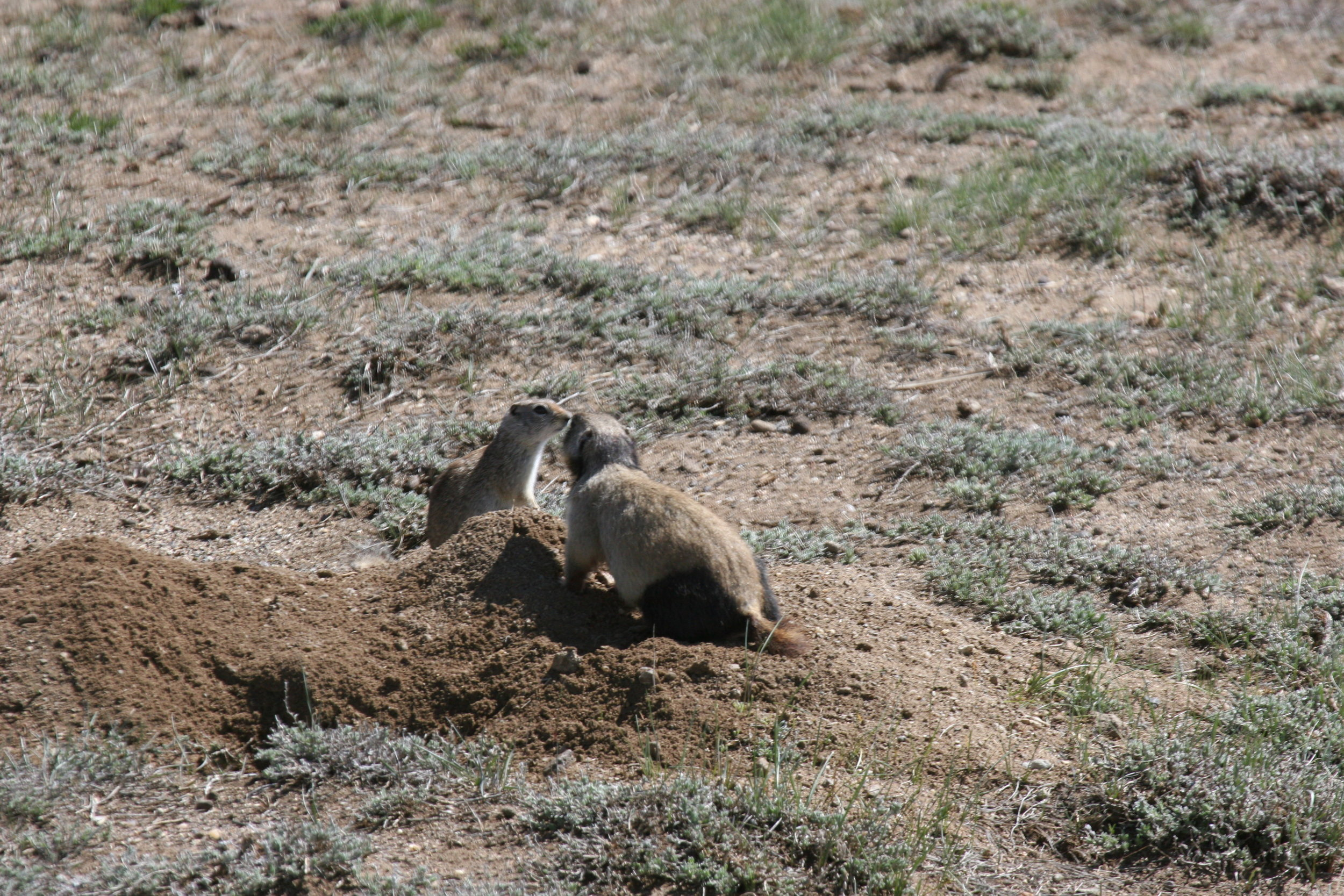 Female white-tailed praire dog RACR (Ring Around the Collar, Rear legs) faces off with a Wyoming ground squirrel.  ©John Hoogland 2011