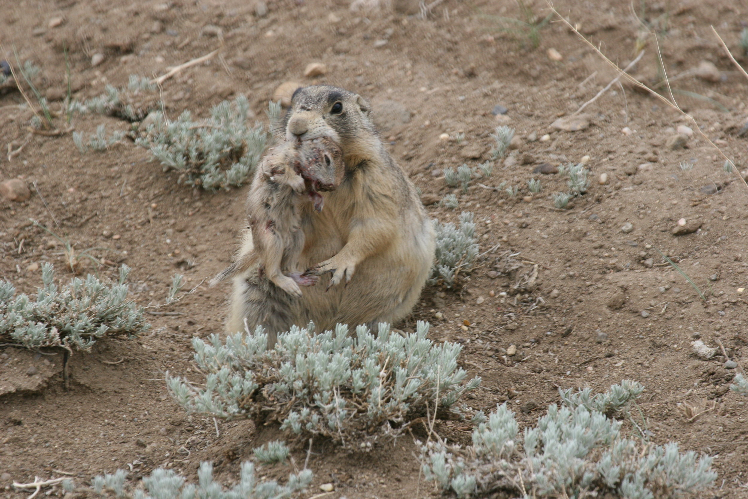 A lactating female prairie dog holds a dead juvenile Wyoming ground squirrel in her jaws. This image was featured in the  National Geographic article  featuring John and Charles Brown's research.  ©John Hoogland 2012