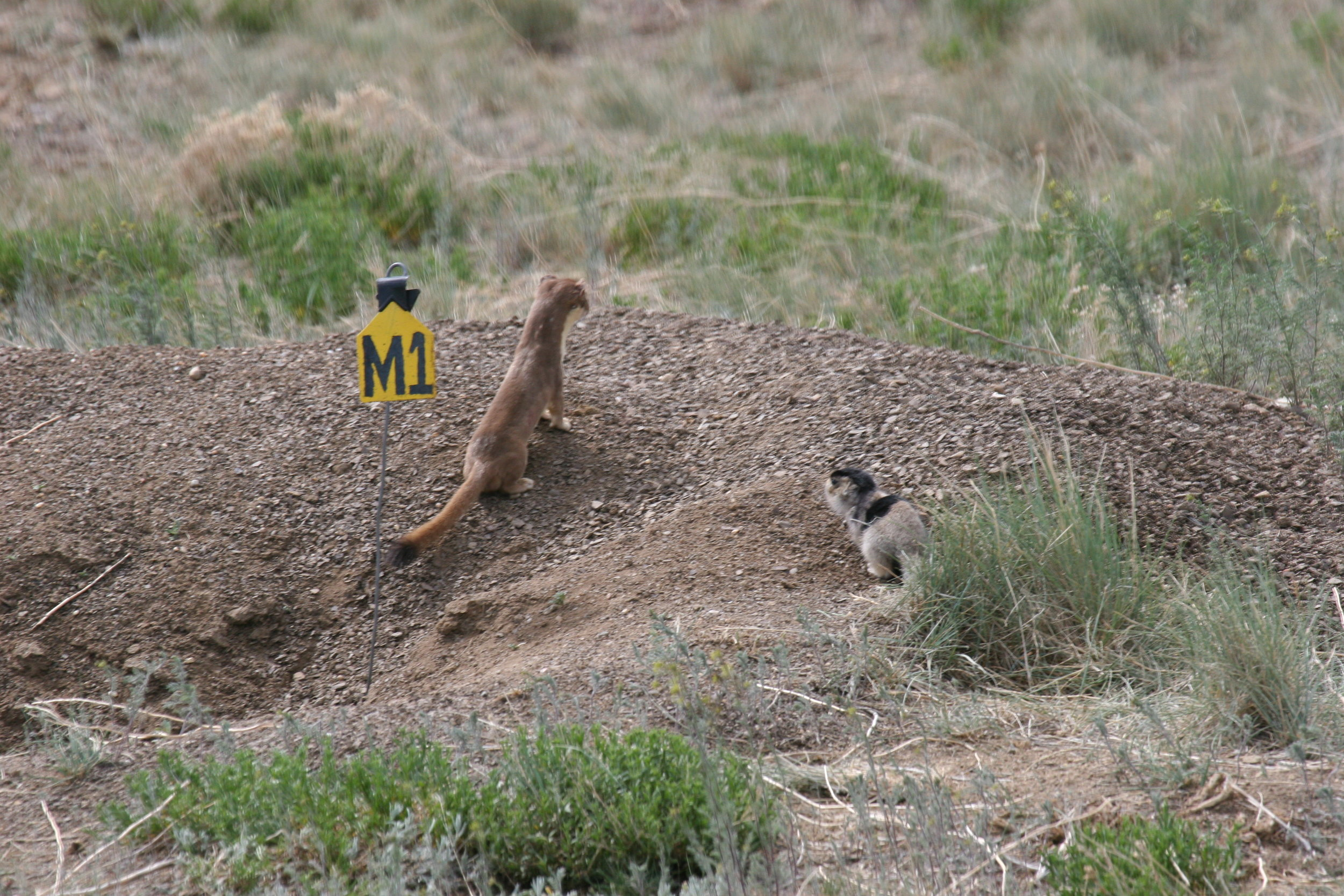 Not even the safety of a burrow can save juvenile prairie dogs from a persistent weasel.  ©John Hoogland 2006