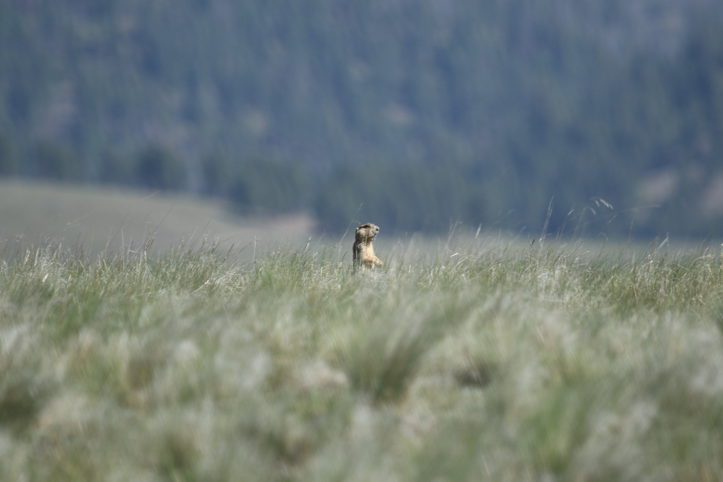 Though hard to see at a distance, this prairie dog is sounding an alarm call from the tall grass.  ©MRR 2017