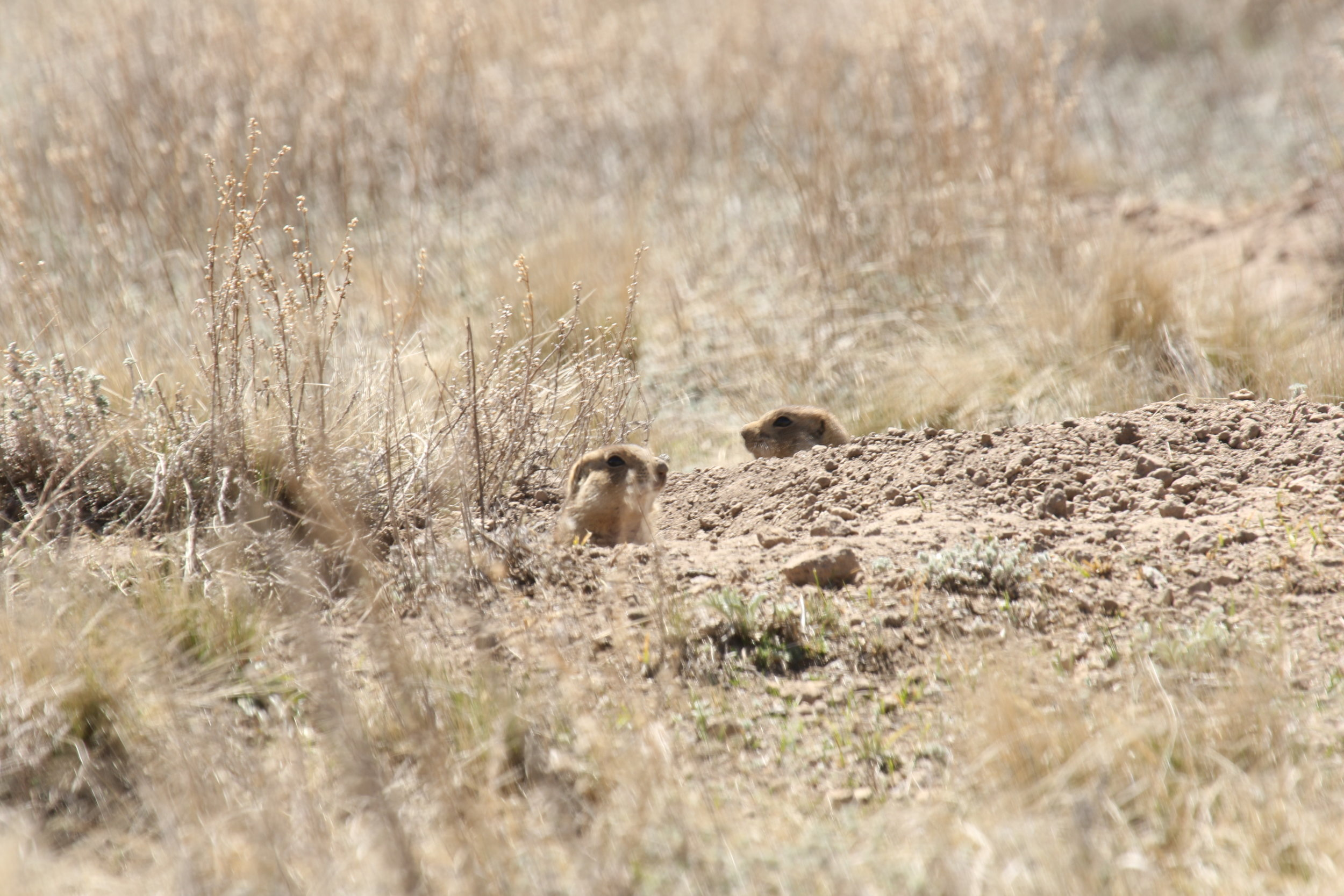 Upon perceiving a threat, a prairie dog will often run to the mouth of its burrow, keeping an eye on its surroundings from the safest position.  ©MRR 2017
