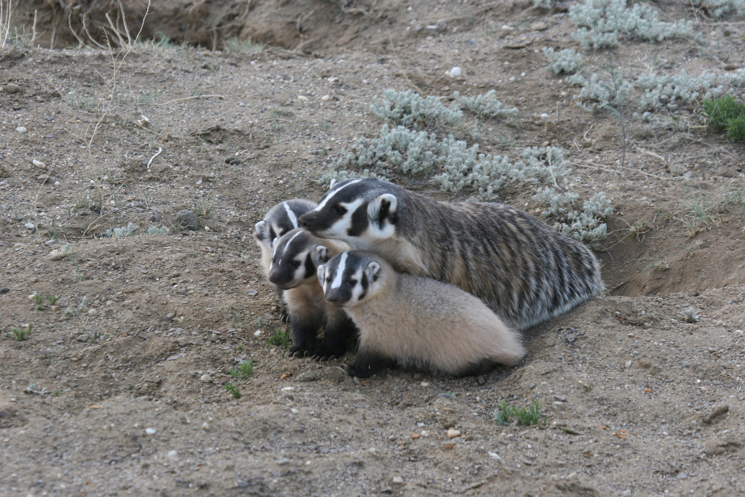 This badger mother must hunt almost nonstop to feed her growing offspring.  ©John Hoogland 2012