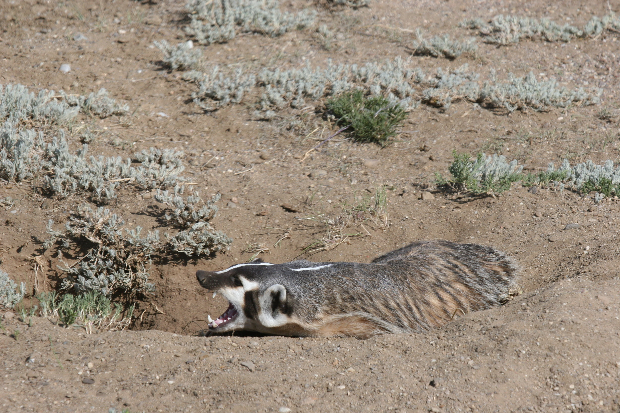 As a carnivore, badgers have long, sharp canines for grabbing prey.  ©John Hoogland 2012
