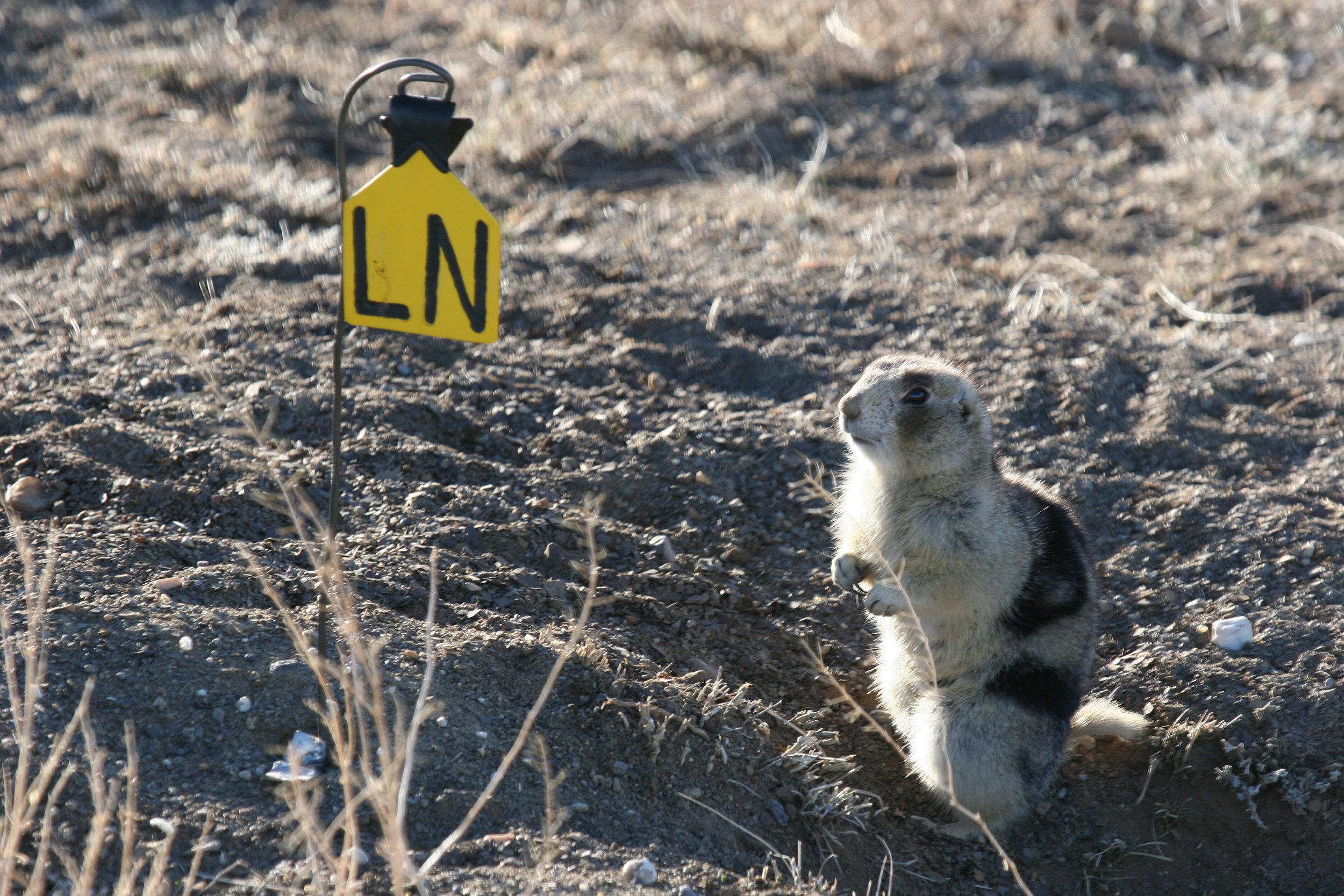 A white-tailed prairie dog ( Cynomys leucurus ) in Colorado  ©John Hoogland 2012