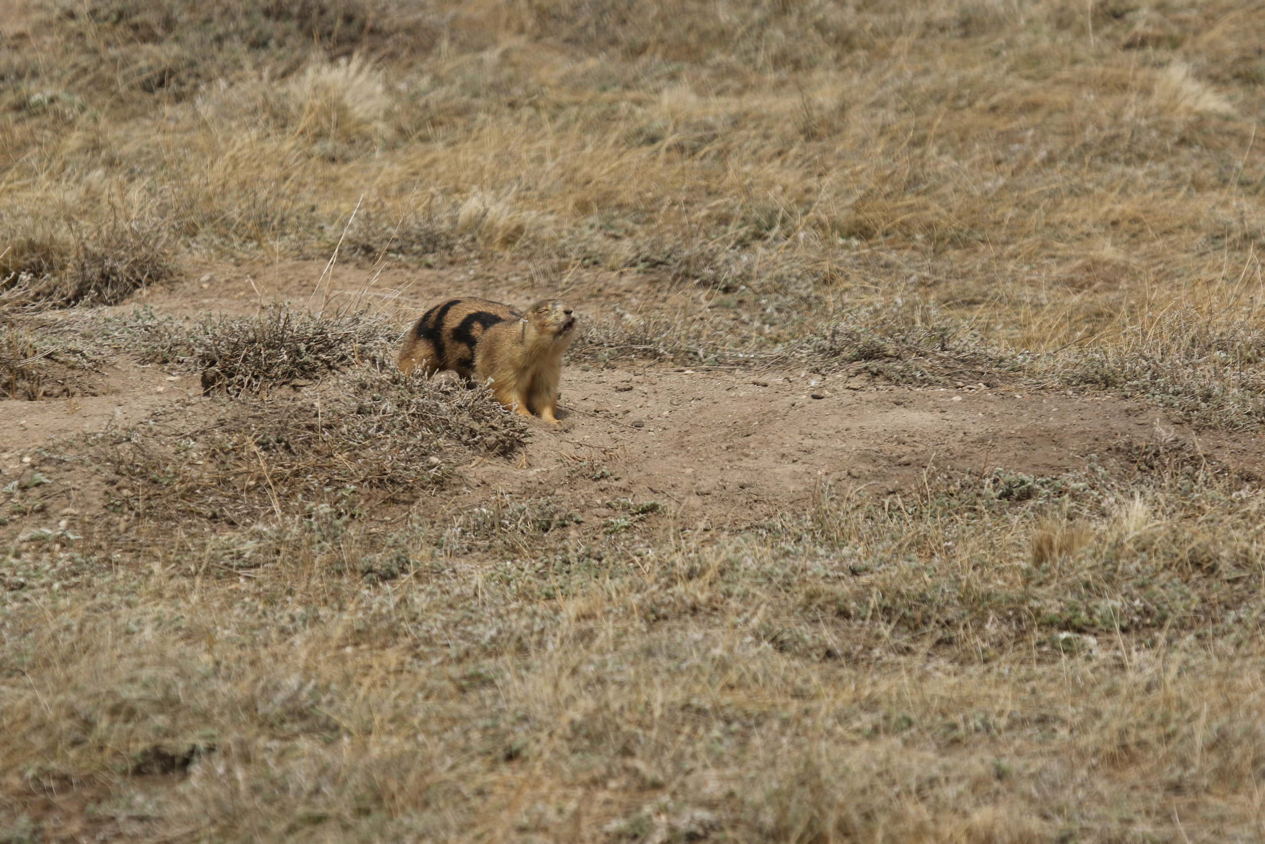 45 lets out a passionate territorial call mid-run.  ©MRR 2017