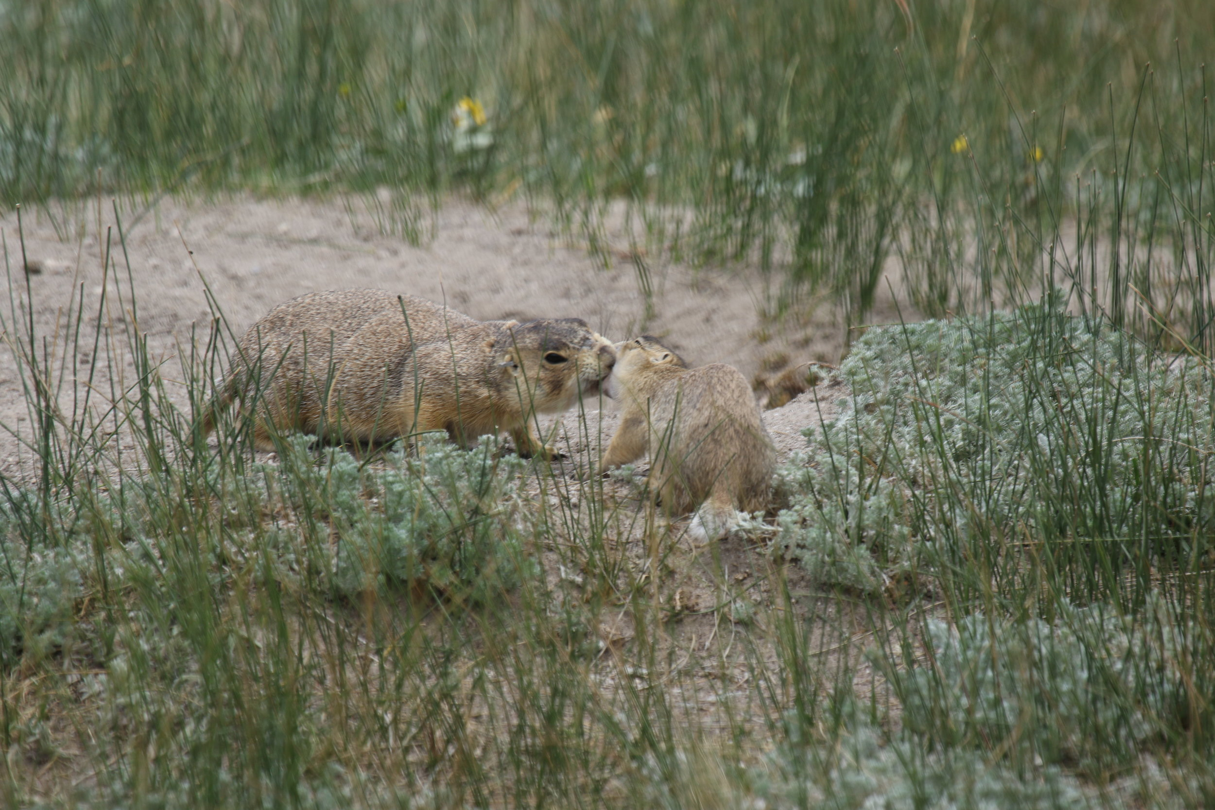 A friendly kiss; an adult prairie dog kisses a baby to say hello and determine if the offspring is hers.  ©MRR 2017