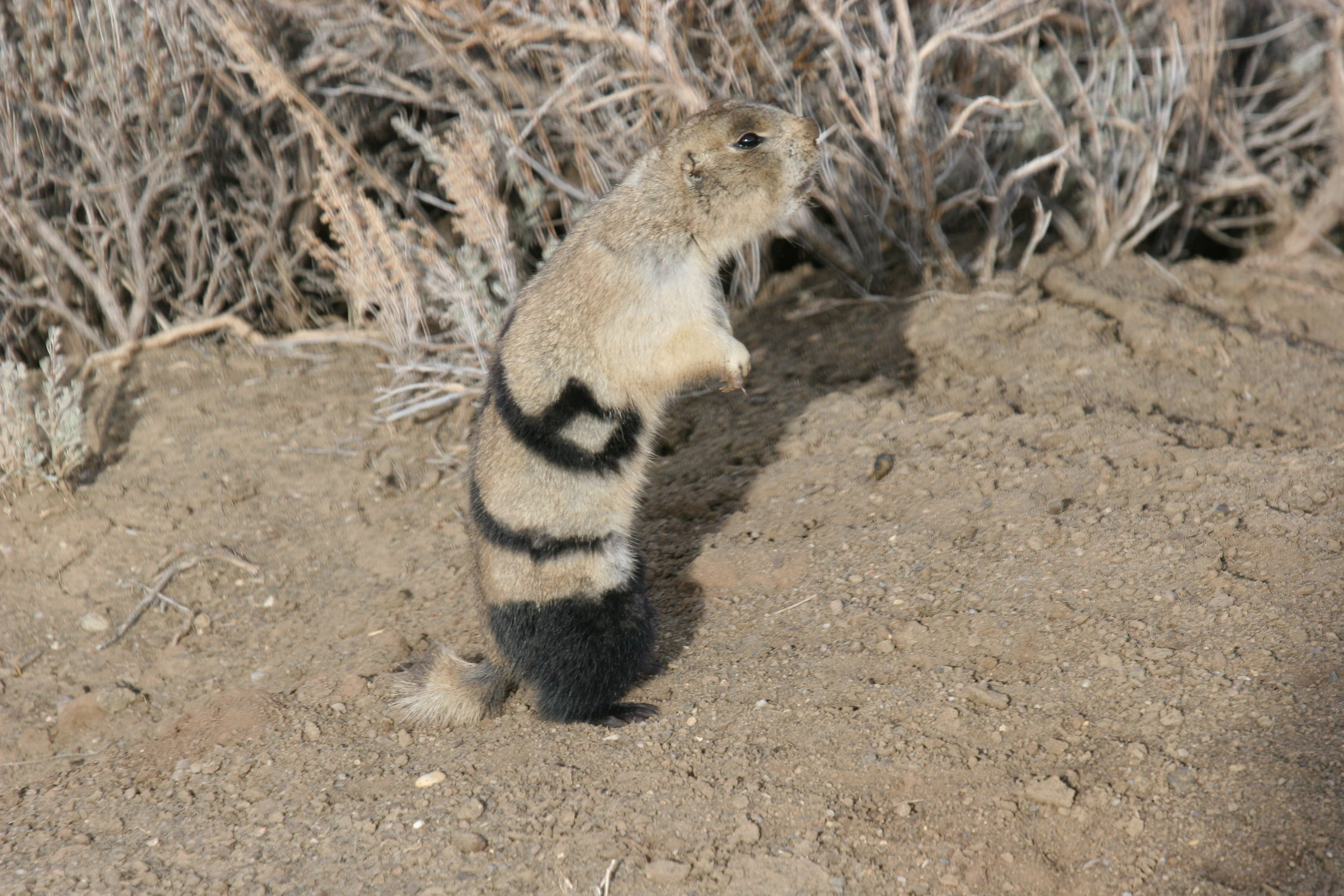 And other times the white-tailed prairie dog will not throw its head back.  ©John Hoogland 2006