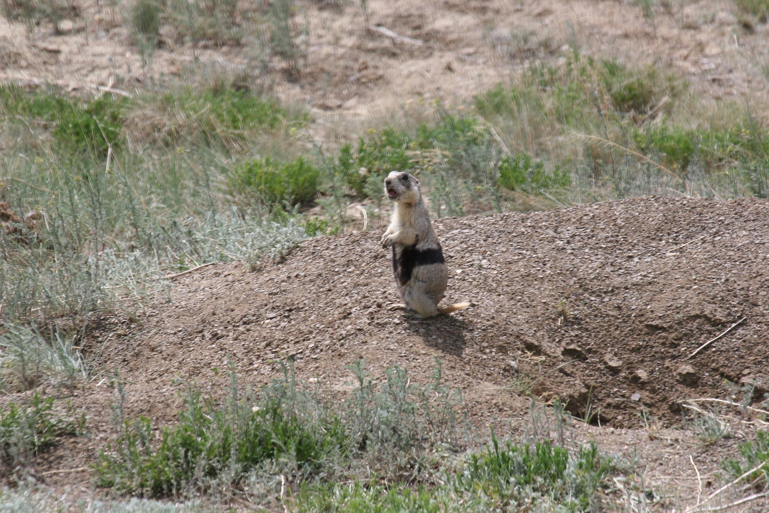 Like alarmed by a nearby badger.  ©John Hoogland 2006