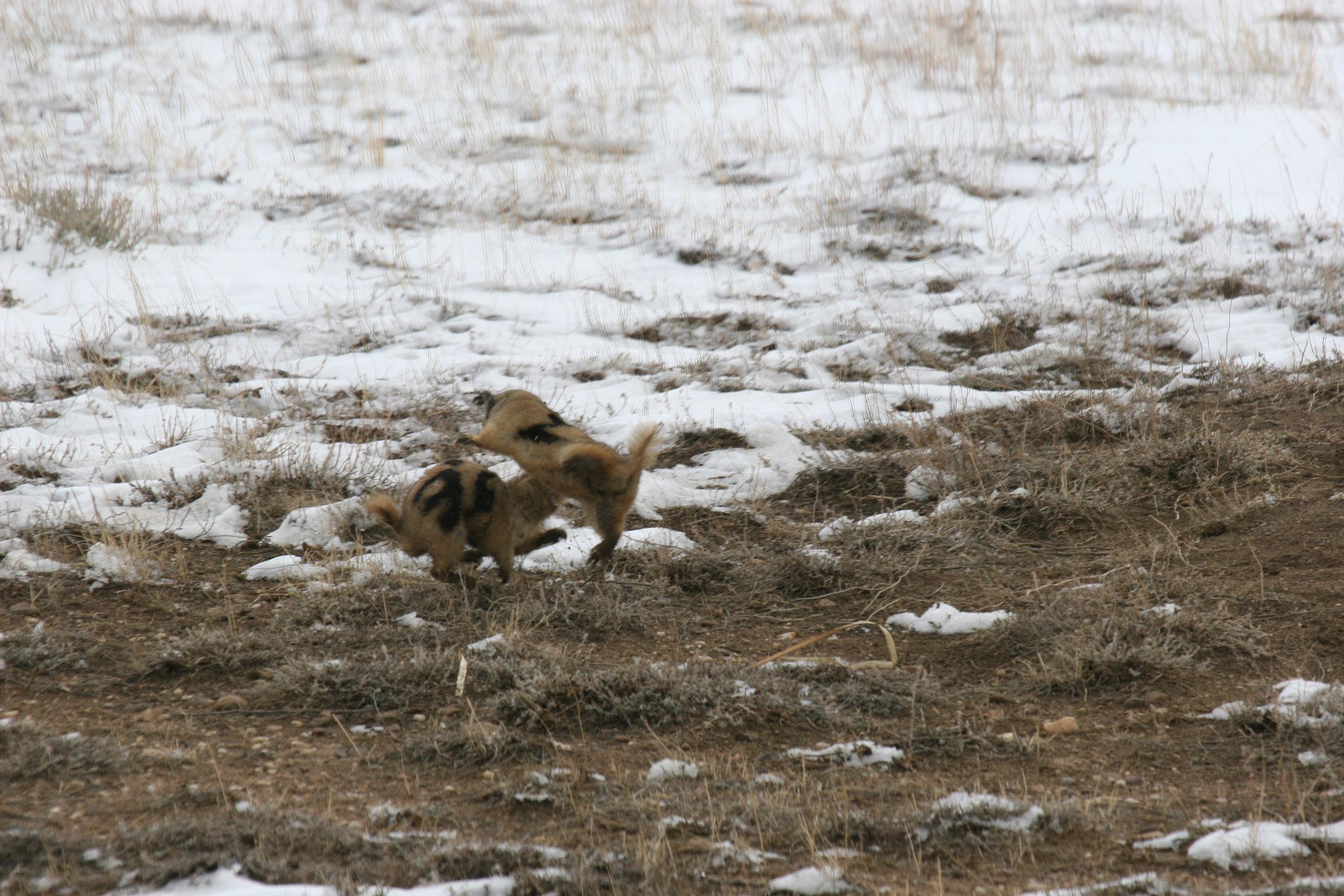 A territorial dispute escalates into a contact fight.  ©John Hoogland 2009