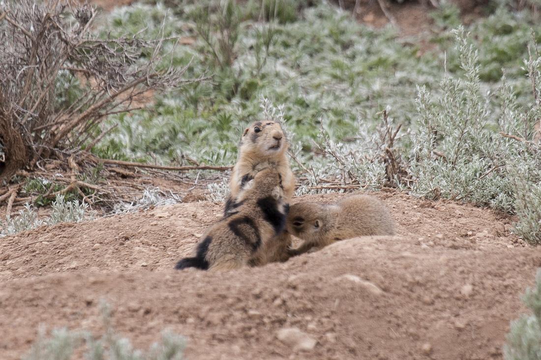 Communal nursing in Utah prairie dogs.  Photo by Elaine Miller Bond  ( www.elainemillerbond.com )