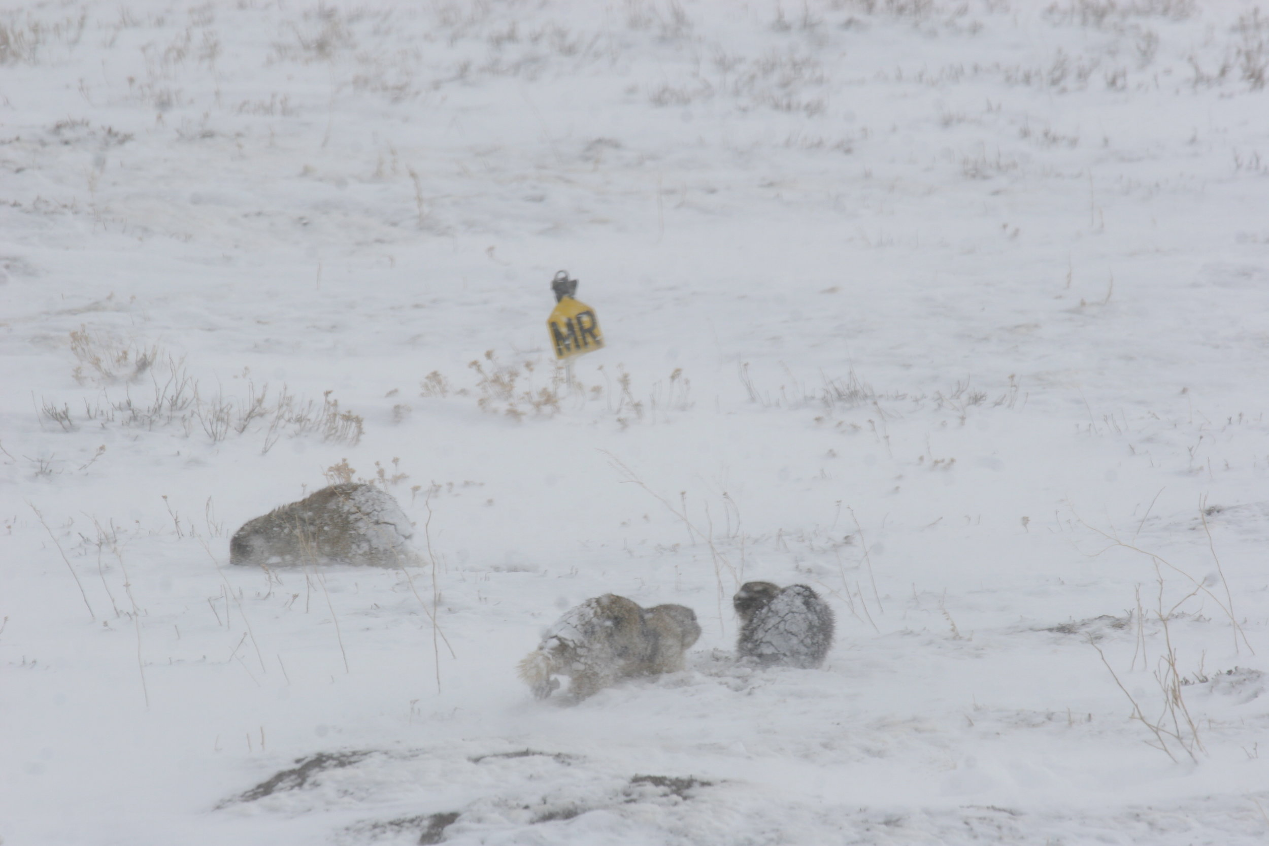 Snow is common across the prairie dog range. They may do their best to avoid the cold and wet, but once the mating season has begun, not only a spring snowfall can keep the prairie dogs underground.  ©John Hoogland 2010