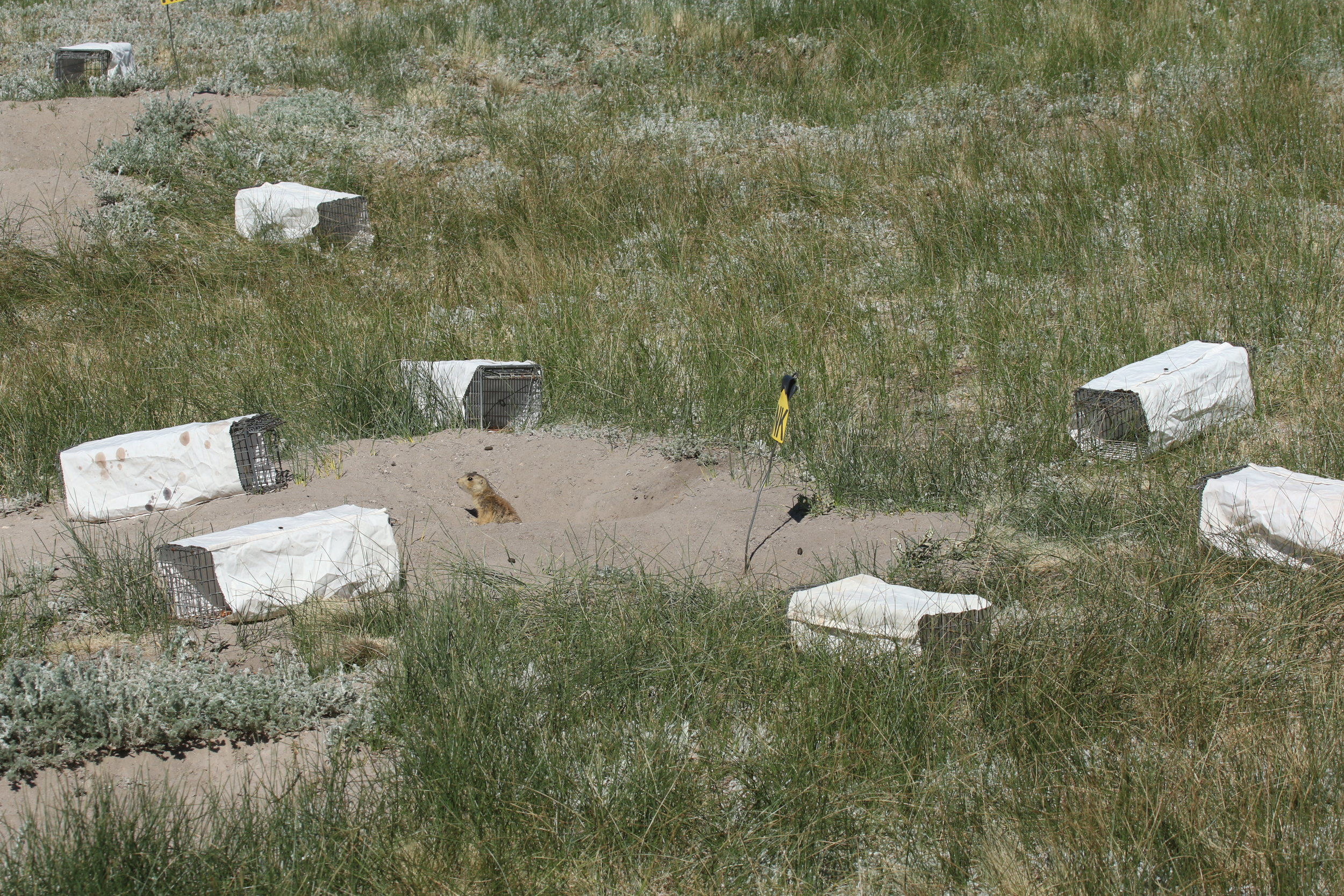 On especially hot days, we cover traps with white cloth to provide caught prairie dogs protection from the sun.  ©MRR 2017